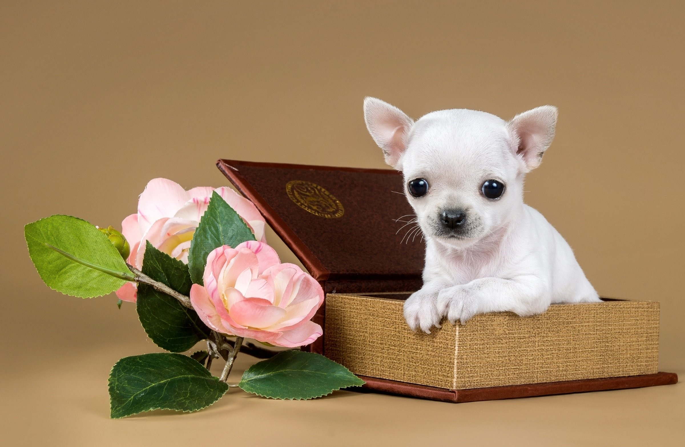Res: 2400x1567, Chihuahua puppy dog flowers jewelry box g wallpaper |  | 719412 |  WallpaperUP