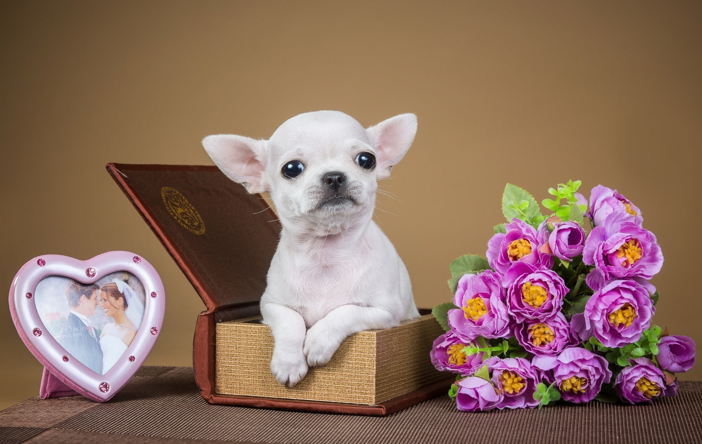 Res: 2400x1518, Chihuahua box samsung backgrounds hd wallpapers dog puppy jewelry amazing  flowers
