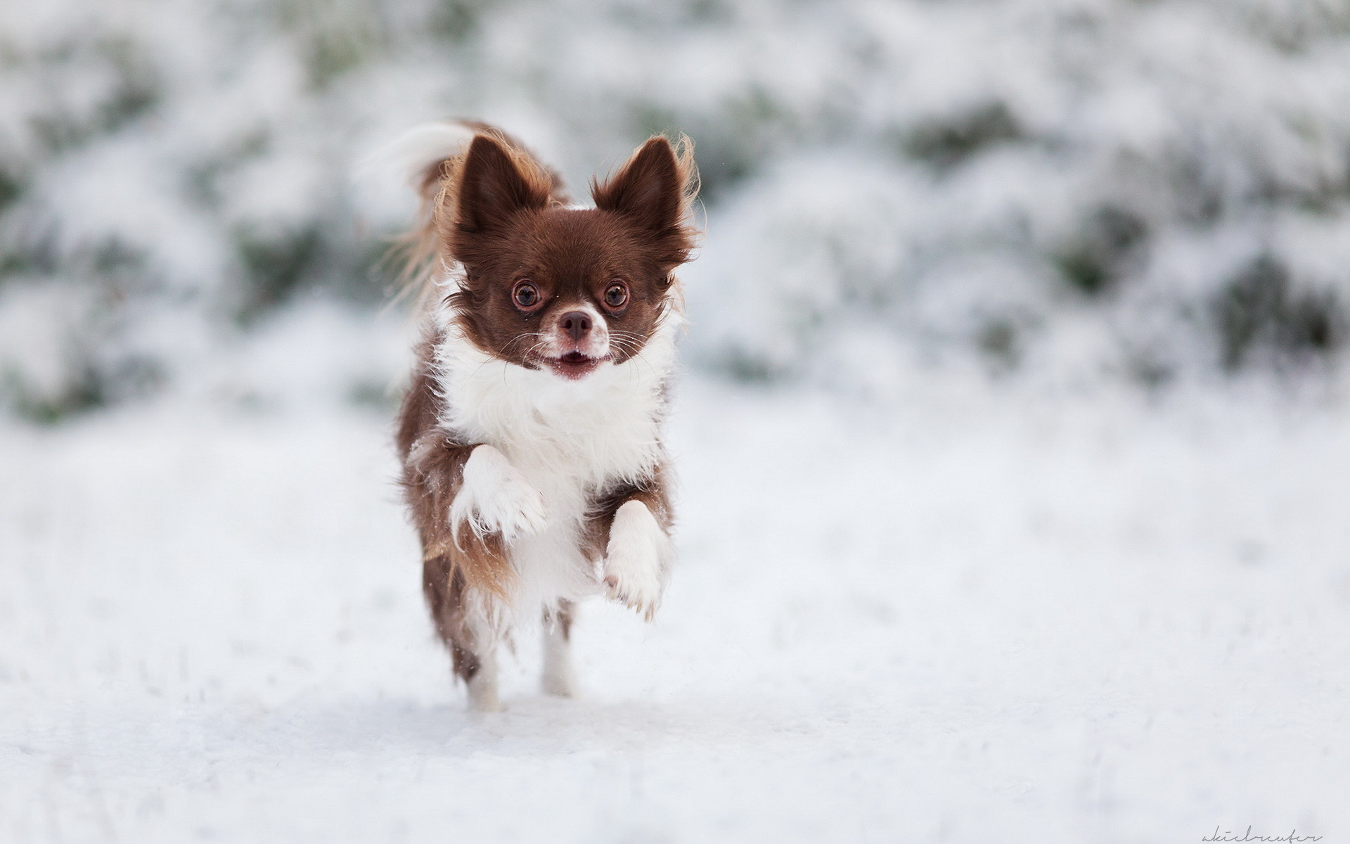 Res: 1920x1200, Wallpapers Chihuahua Dogs Running Snow Animals Run