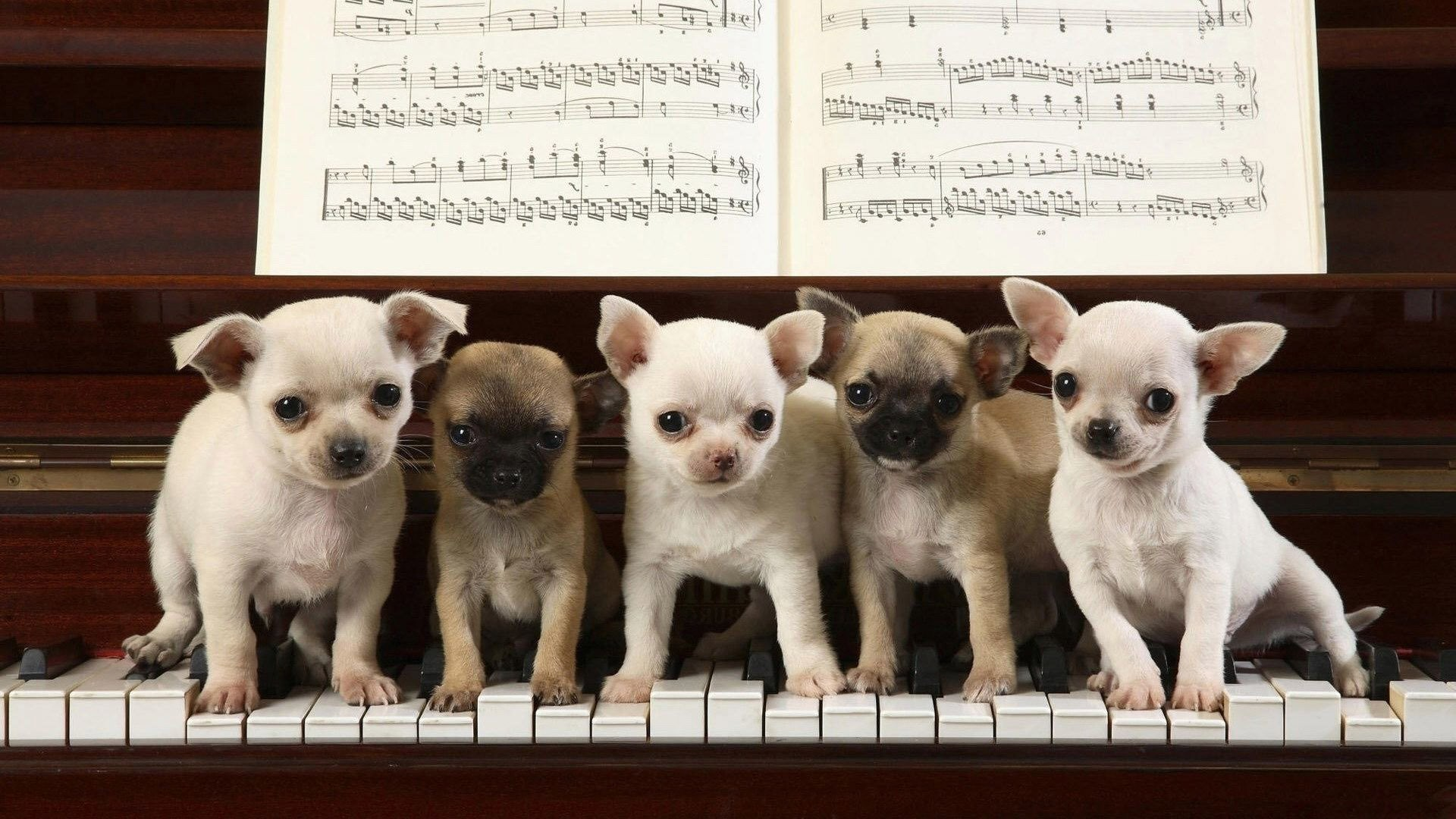 Res: 1920x1080, chihuahua puppies on the piano