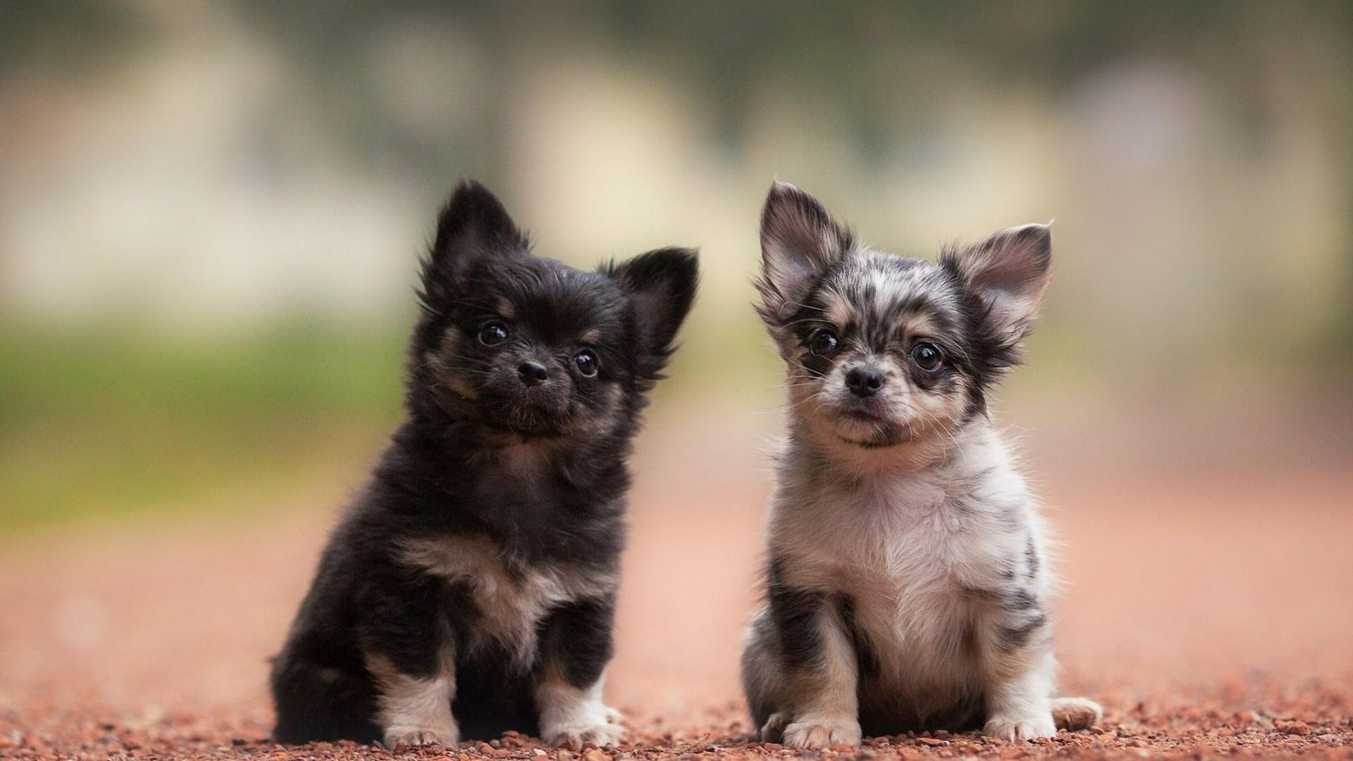 Res: 1920x1080, Chihuahua Puppies Wallpaper Desktop 15