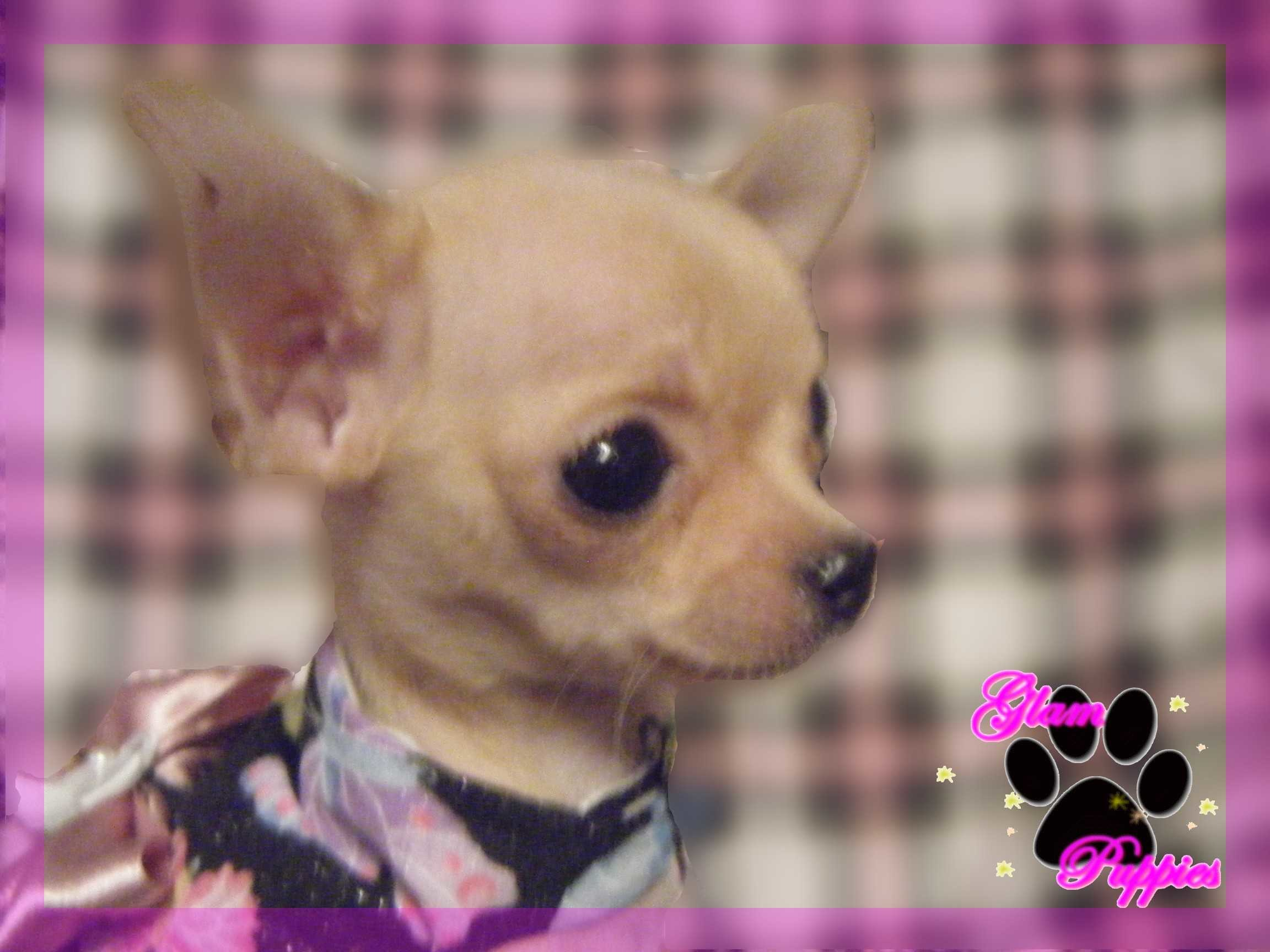 Res: 2304x1728, About Chihuahua Chihuahuas Dog Wallpaper With Pictures Of Puppies High  Quality For Photos Resolution Desktop