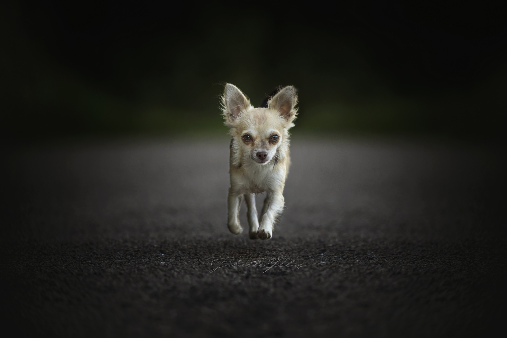 Res: 2048x1365, Animal - Chihuahua Dog Pet Wallpaper