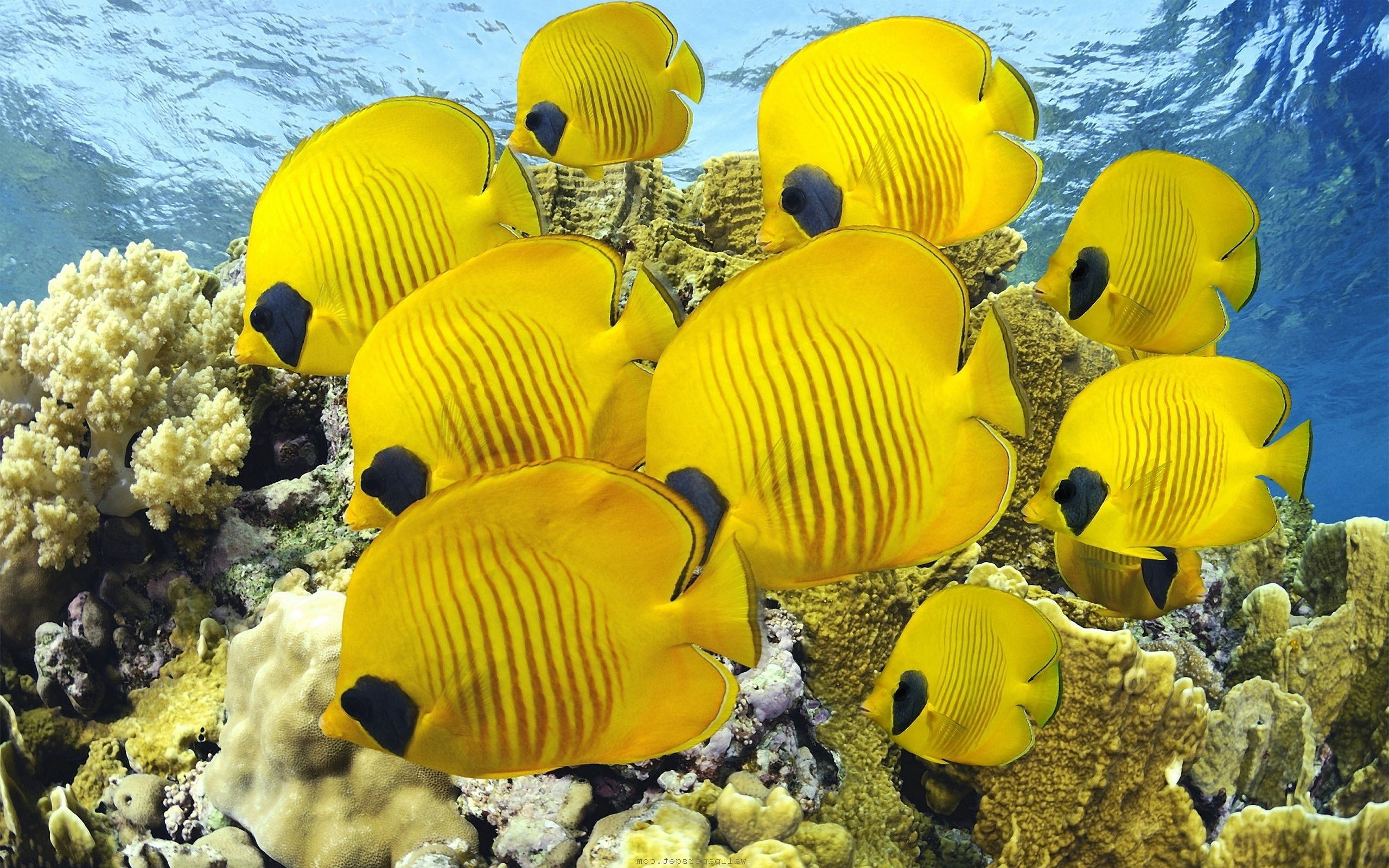 Res: 2560x1600, yellow | Yellow Butterfly Fish Wallpapers Pictures Photos Images