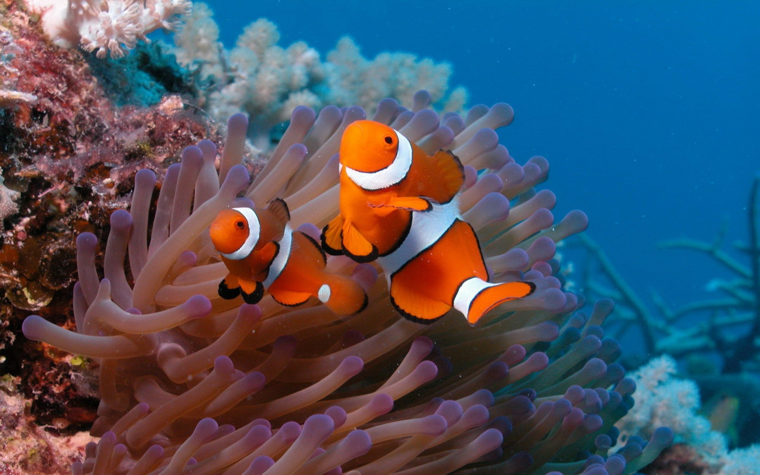 Res: 2560x1600, Coral Reef Fish Wallpapers - HD Wallpapers Inn
