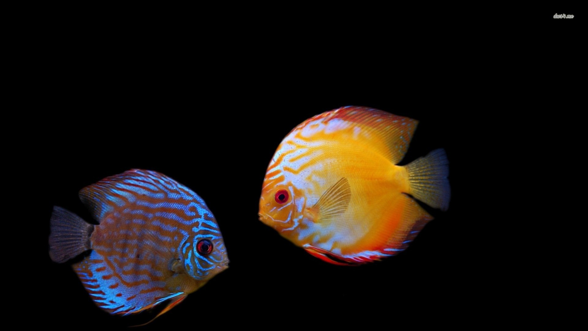 Res: 1920x1080, Fish Wallpapers For Desktop Free Download FRT | Pretty Wallpapers HD
