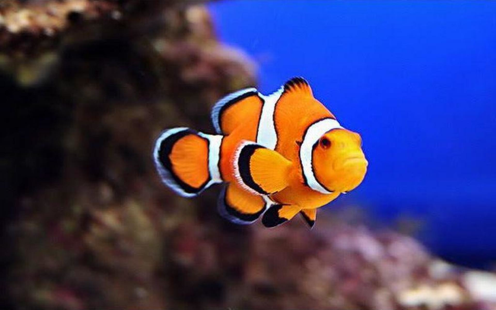 Res: 1920x1200, Clownfish High Quality Background on Walls Cover
