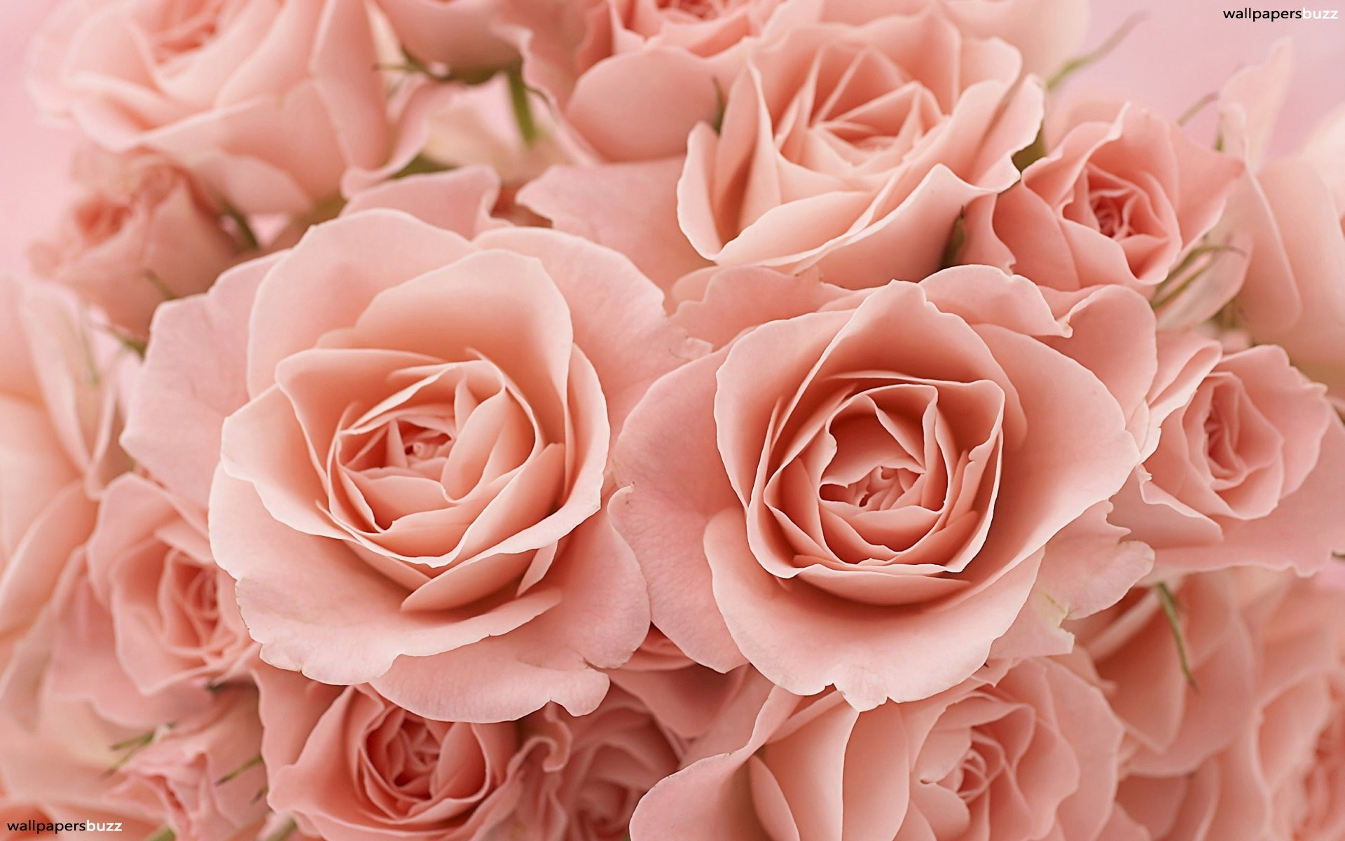 Res: 1920x1200, B Pink Roses Hd For Wallpaper Of Mobile