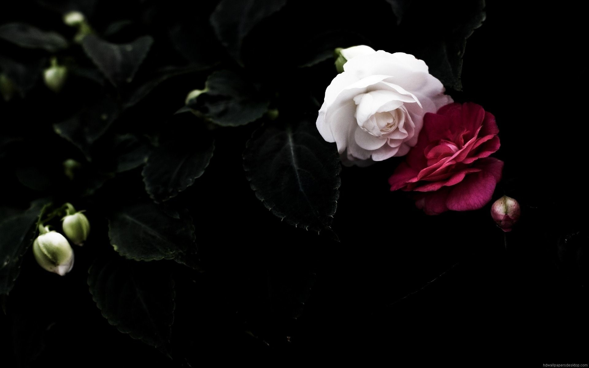 Res: 1920x1200, Black and white roses background widescreen desktop mobile iphone android hd wallpaper and desktop.