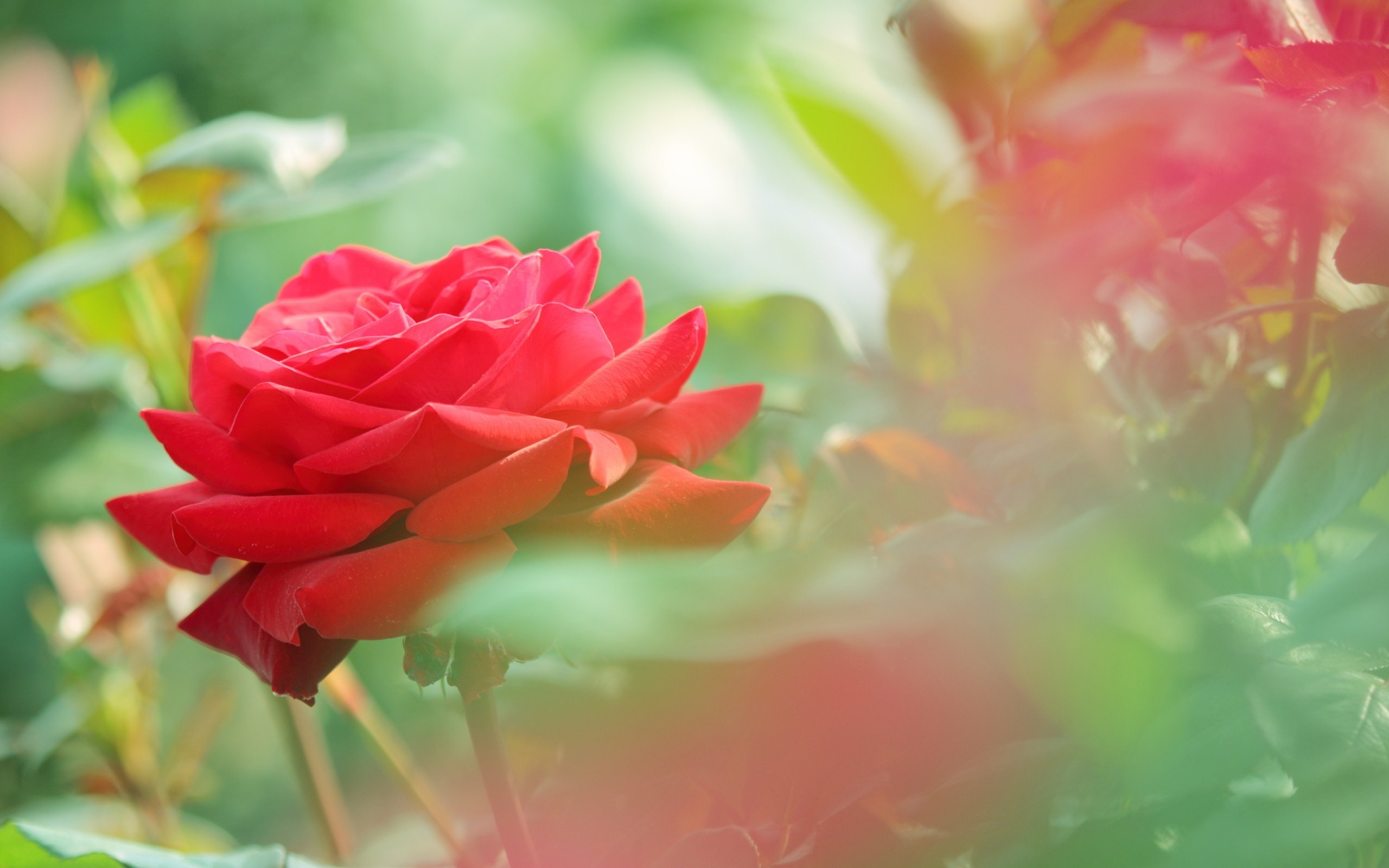Res: 2560x1600, Desktop For Red Rose Flower Photo Hd Wallpaper Flowers Images Pc