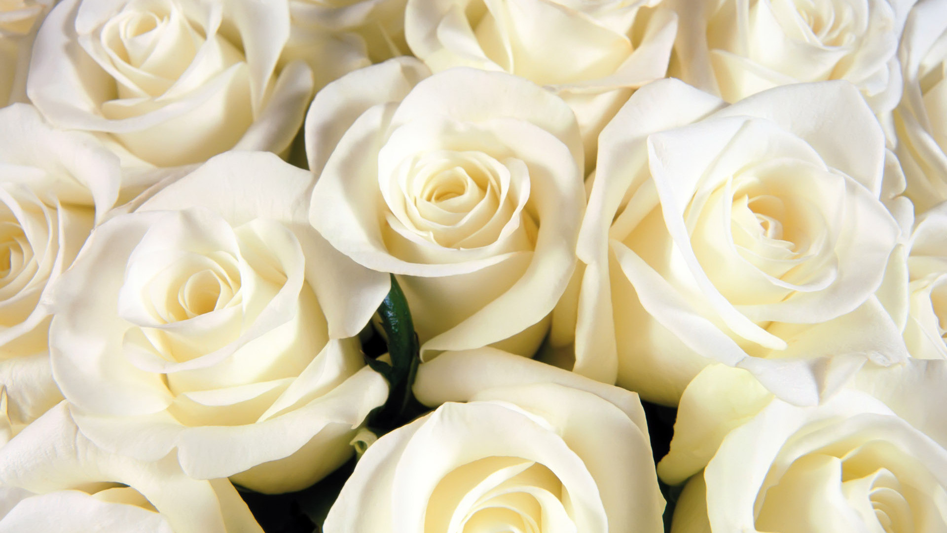 Res: 1920x1080, White Rose Wallpapers – Resolution: , Rodger Sparacino for PC & Mac, Laptop, Tablet, Mobile Phone