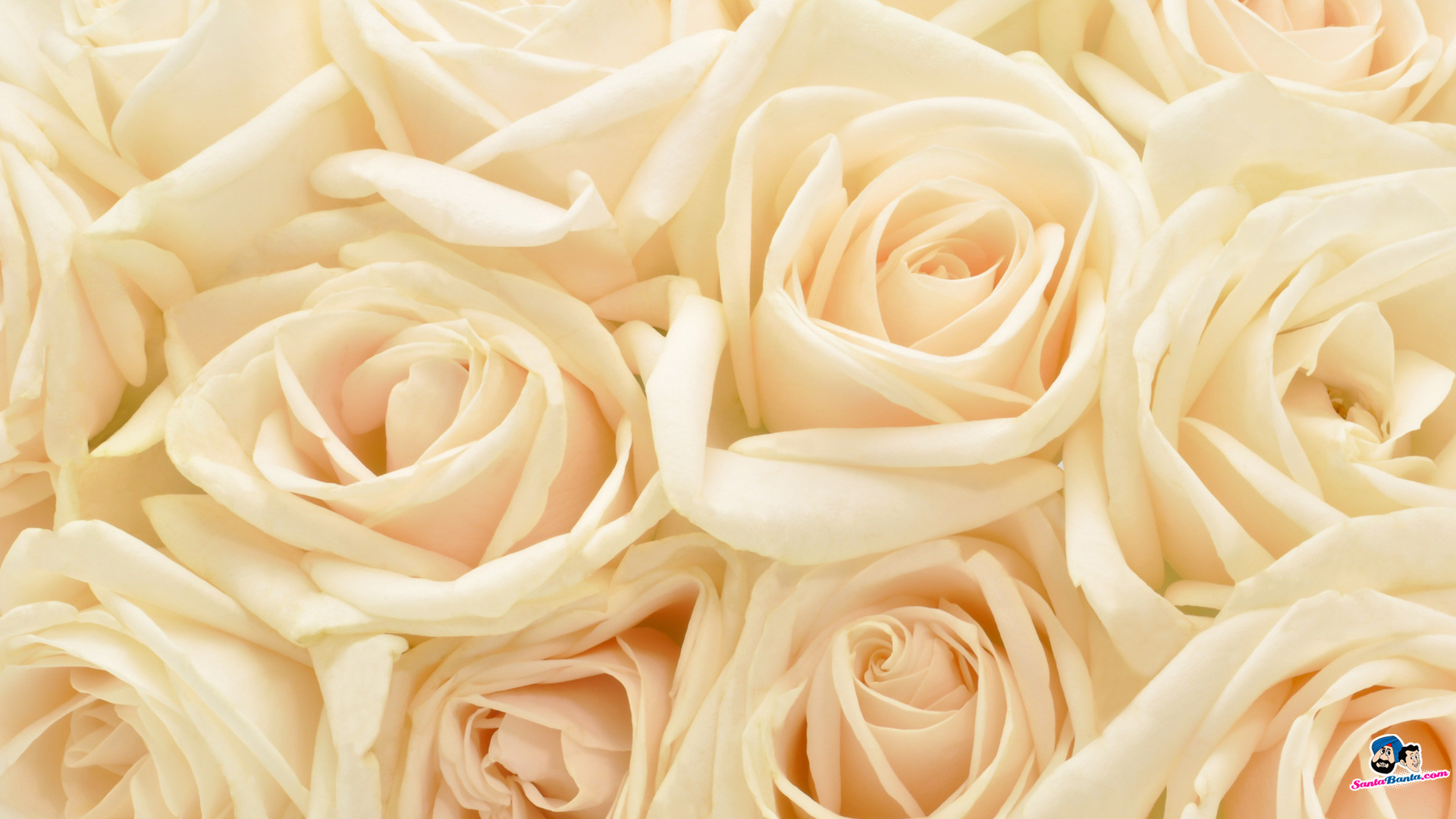 Res: 1920x1080, White Rose Red Roses Wallpapers For Iphone 5, HQ Backgrounds | HD .