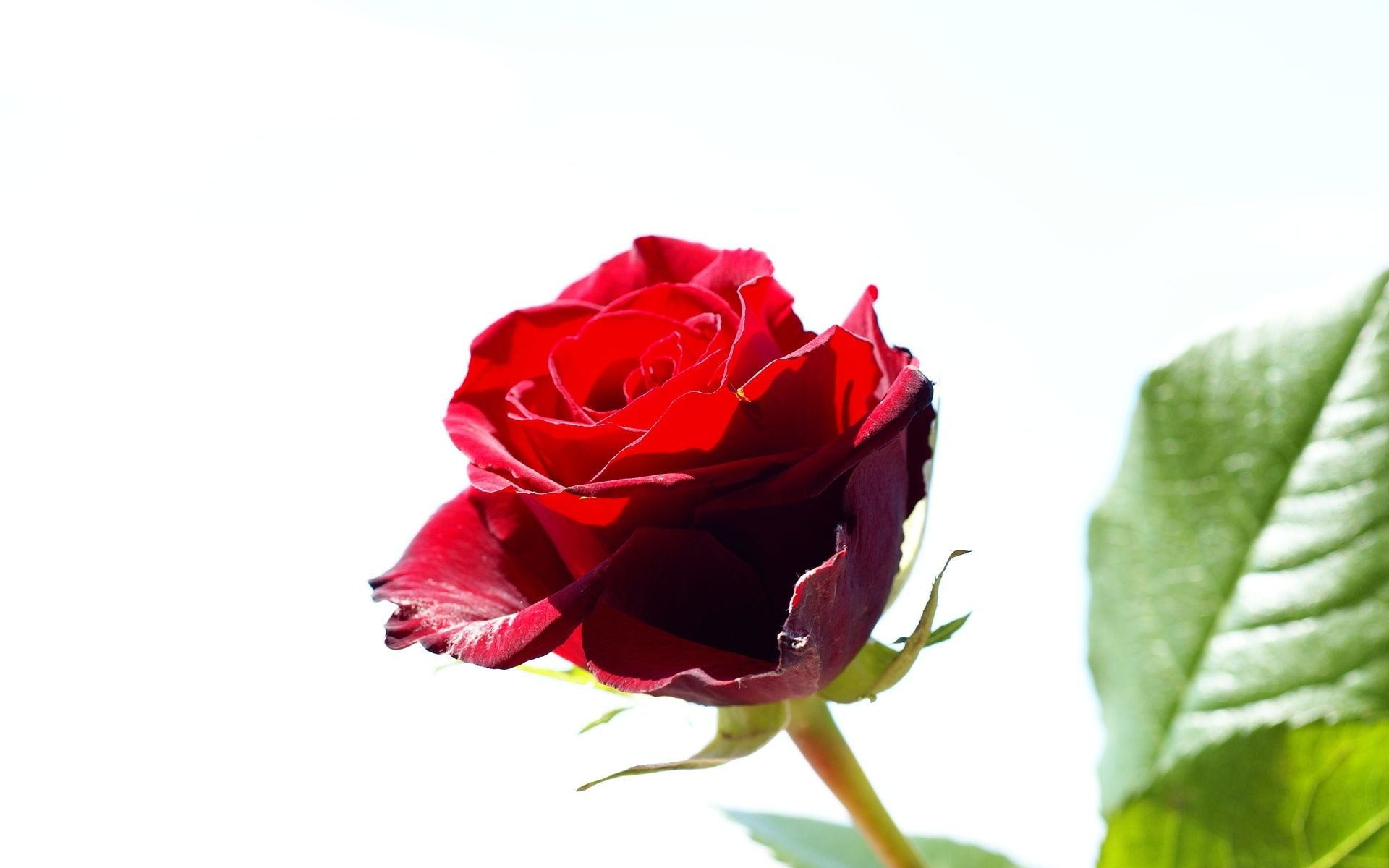 Res: 1920x1200, Wallpapers Backgrounds - Tags red rose roses flower background screensaver pozadia tapety flowers