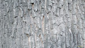 Birch Bark wallpapers