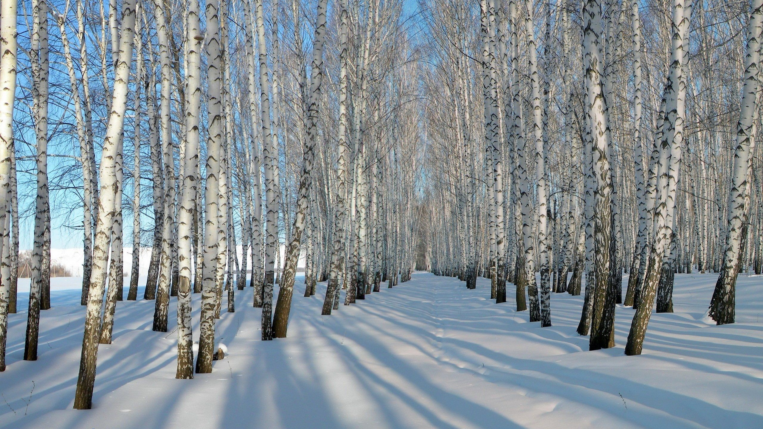 Res: 2560x1440, Image result for birch trees in winter wallpaper