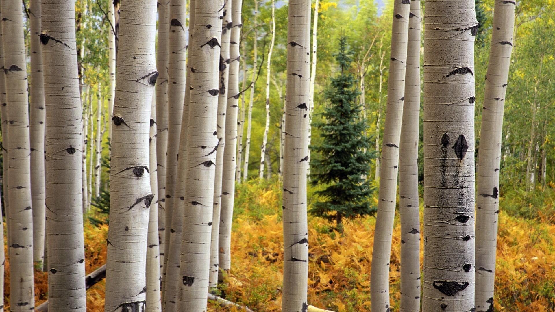 Res: 1920x1080, Aspen Tree Wallpaper - WallpaperSafari