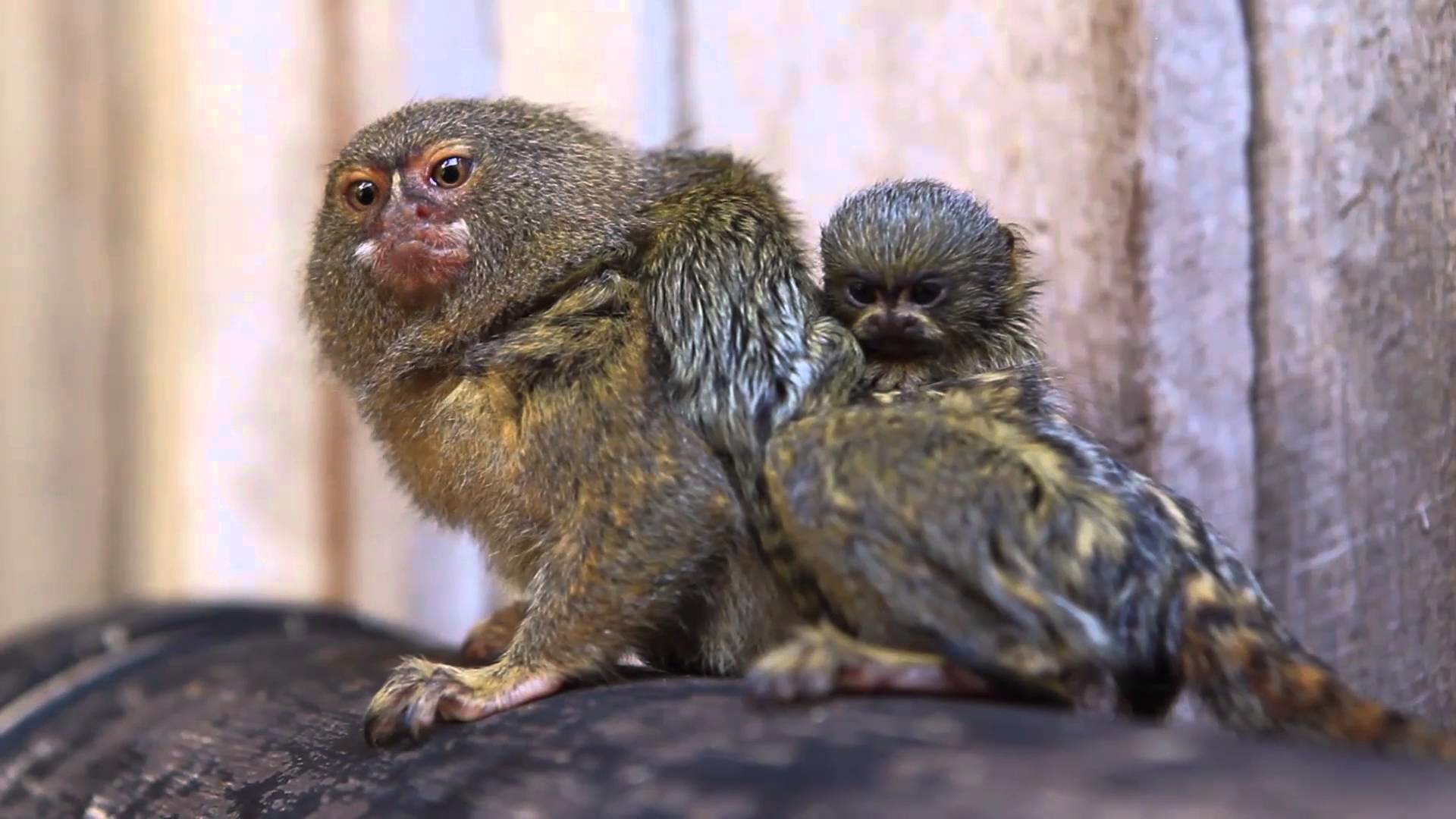 Res: 1920x1080, World's smallest monkey gives birth to world's cutest babies