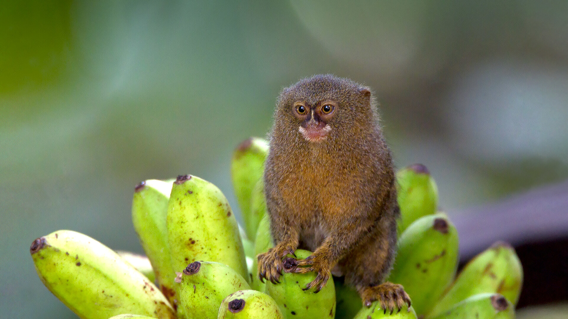 Res: 1920x1080, Pygmy marmoset sits on a bunch of bananas