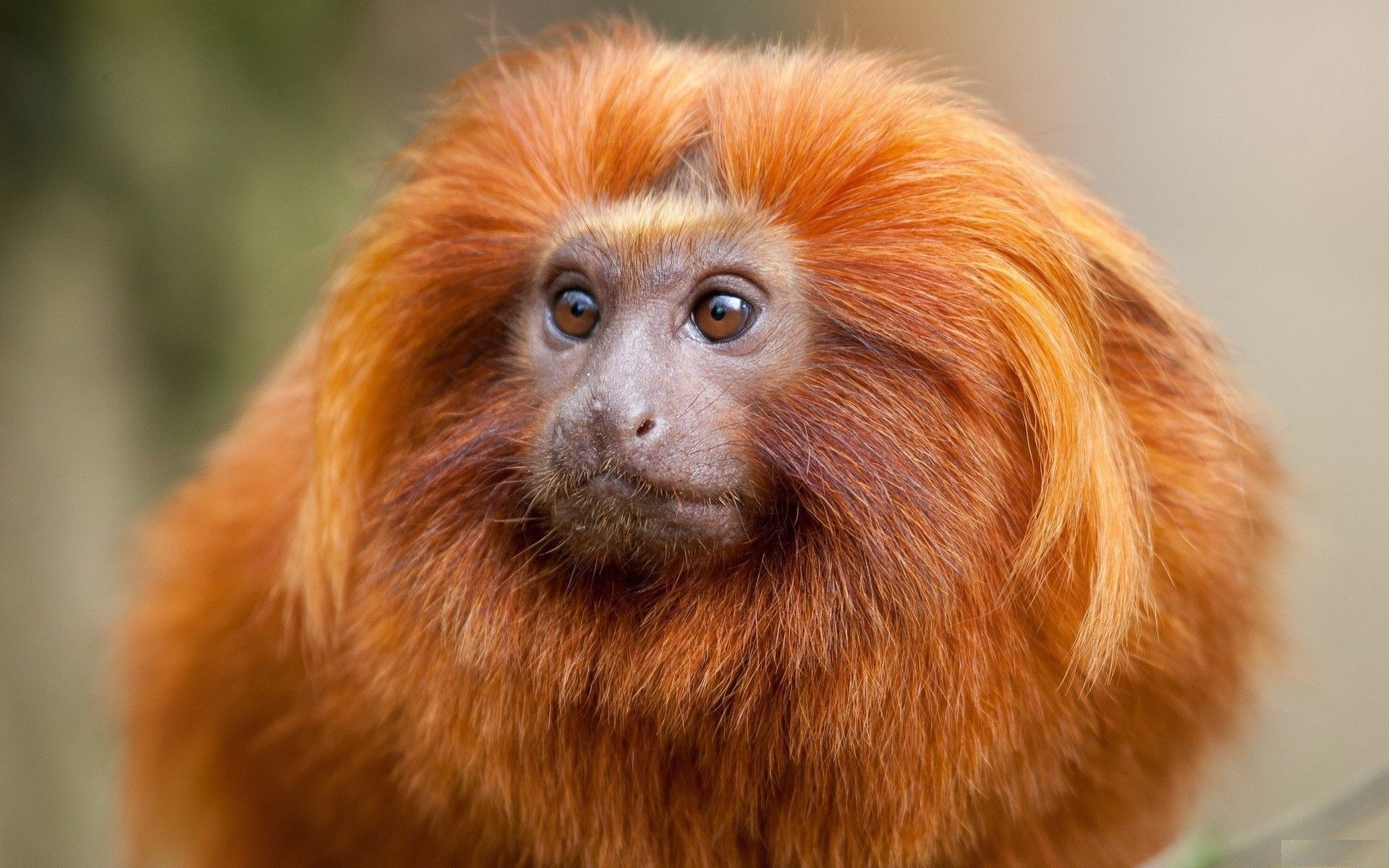 Res: 1920x1200, Red Monkey | Red monkey wallpapers, photo, images, picture (Monkey with the  red ... | GODS AMAZING CREATURES (5) | Pinterest | Monkey wallpaper,  Insects and ...