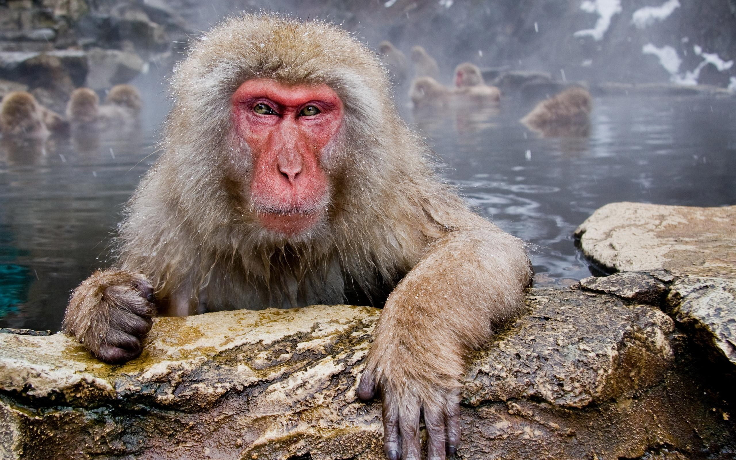 Res: 2560x1600, 12 Quality Japanese Macaque Wallpapers, Animals