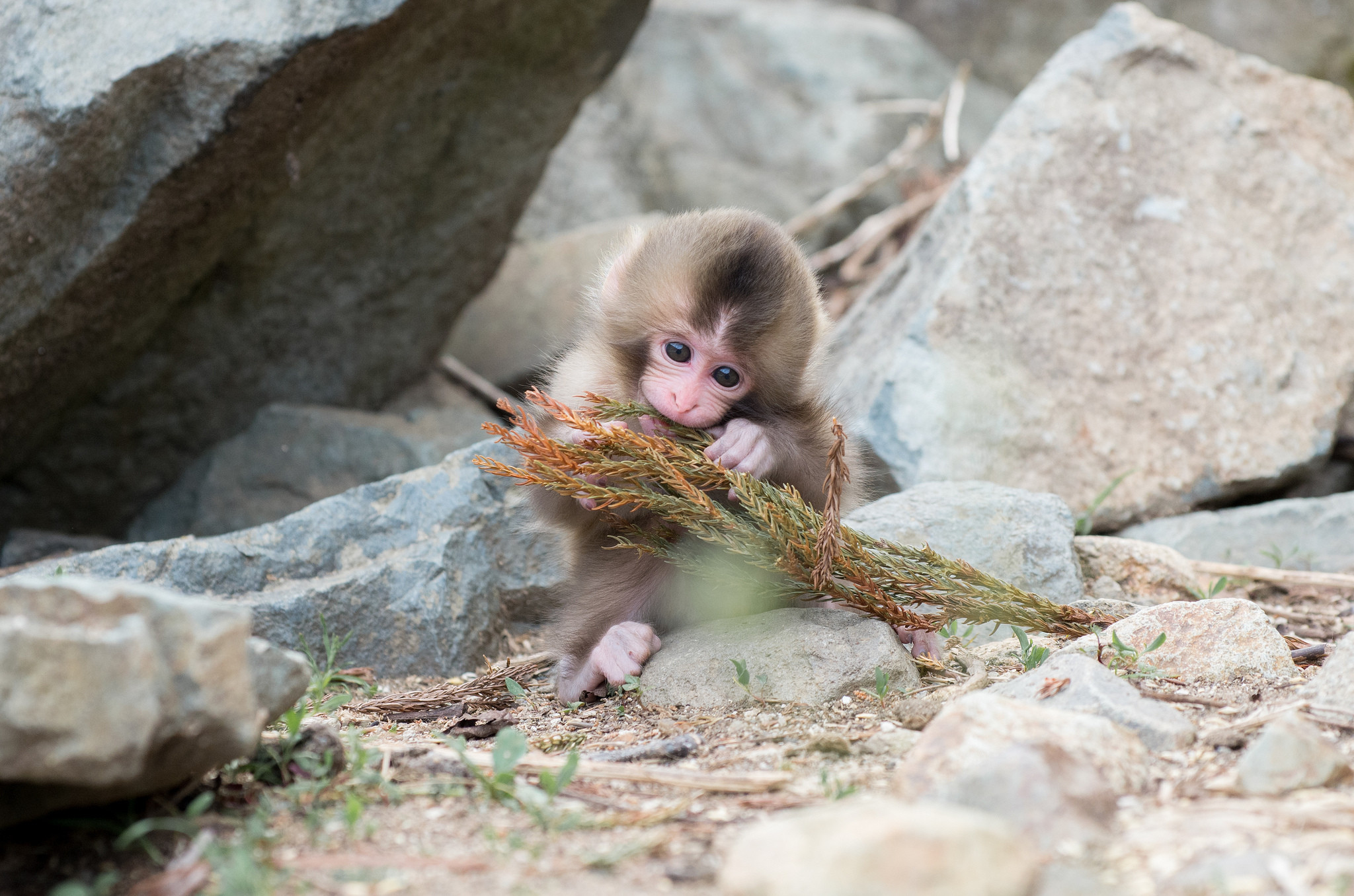 Res: 2048x1356, natural-snow-monkey-japanese-macaque-facts-of-endangered-