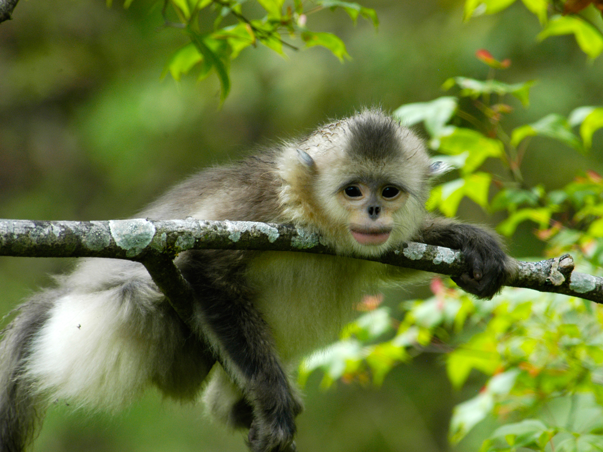 Res: 2048x1536, ... Golden Snub-nosed Monkey Wallpapers ...