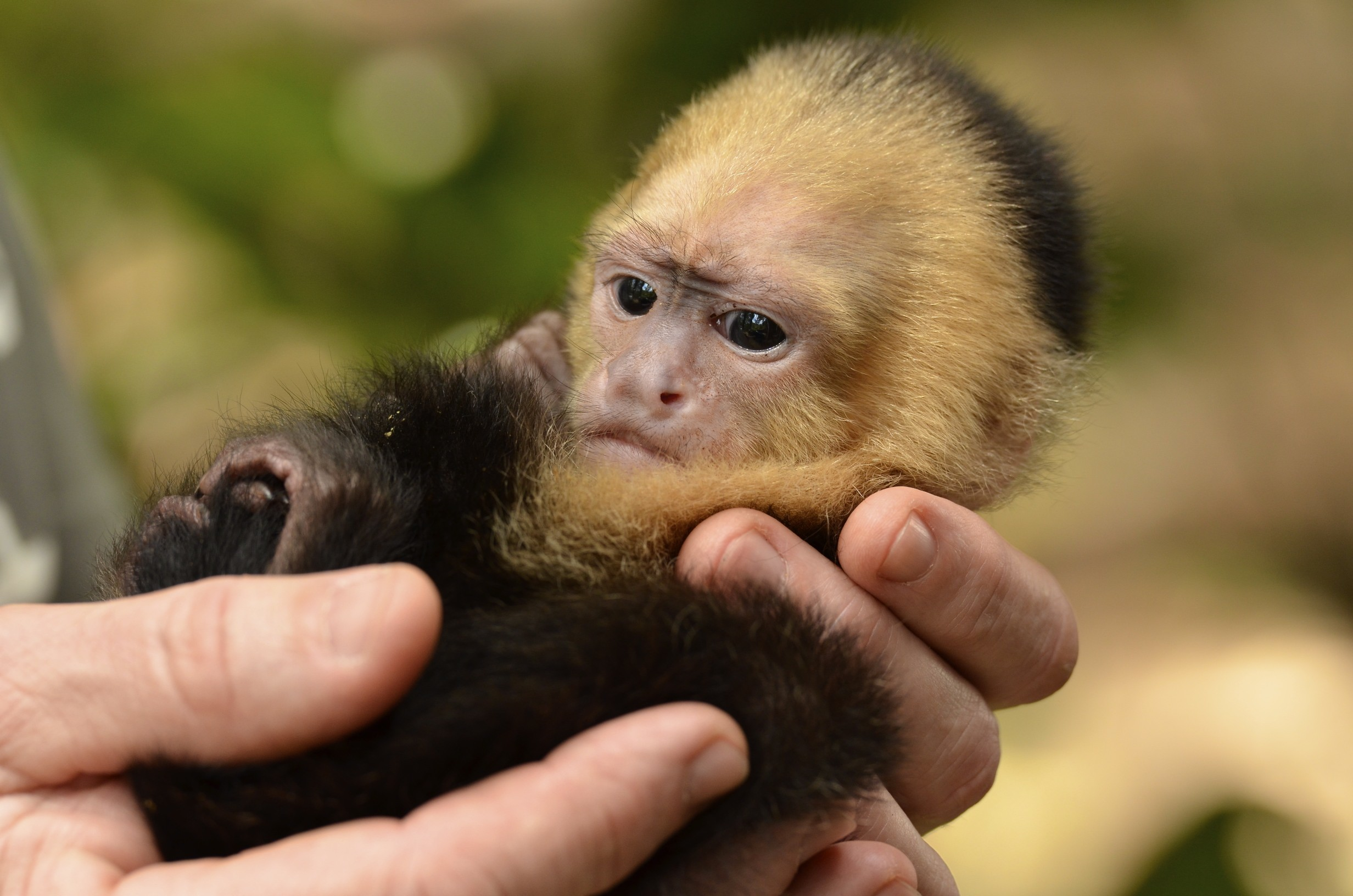Res: 2464x1632, Michael Kummer Have you ever wanted a Pet Monkey