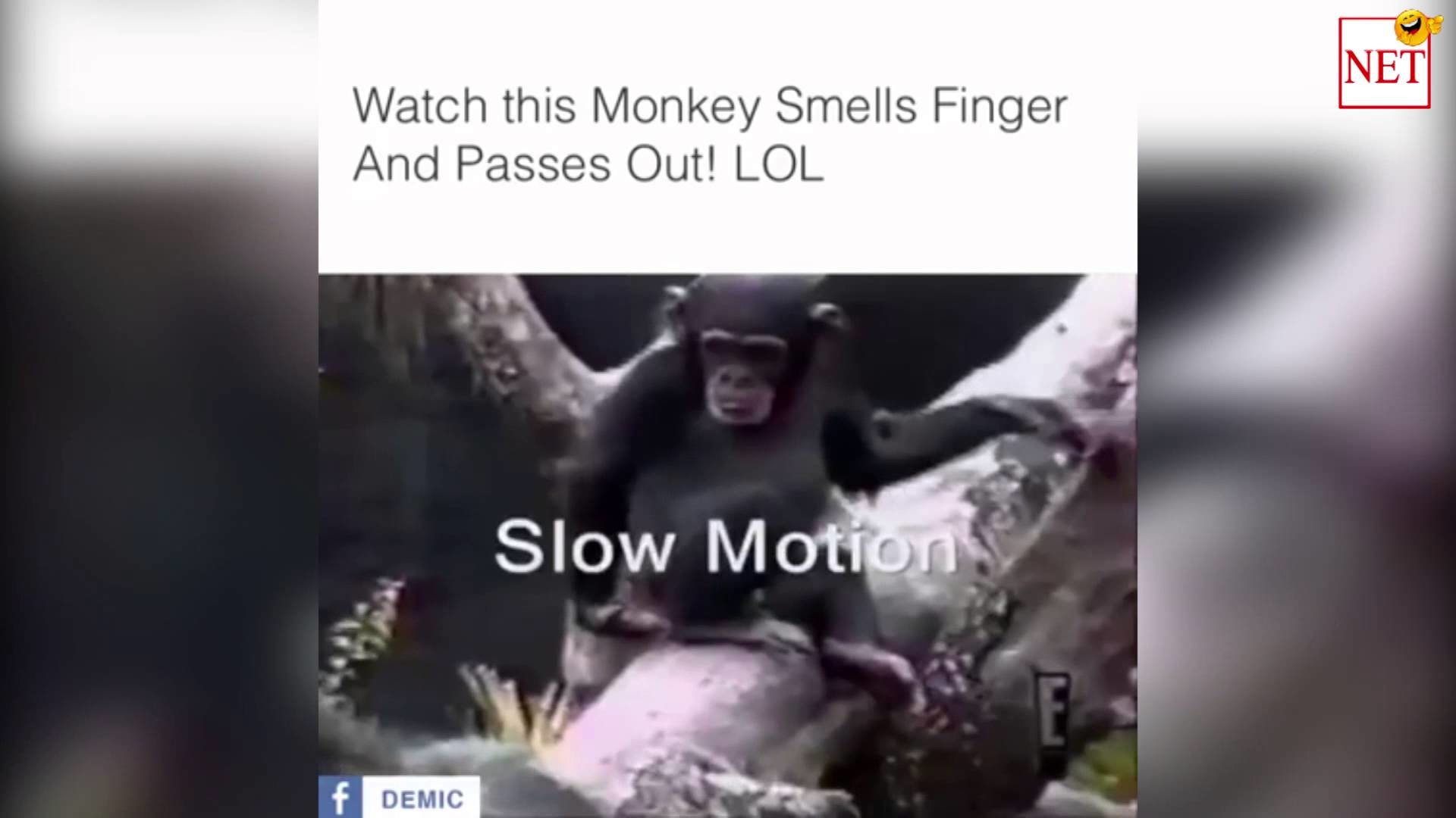 Res: 1920x1080, Watch this monkey smell its finger and pass out