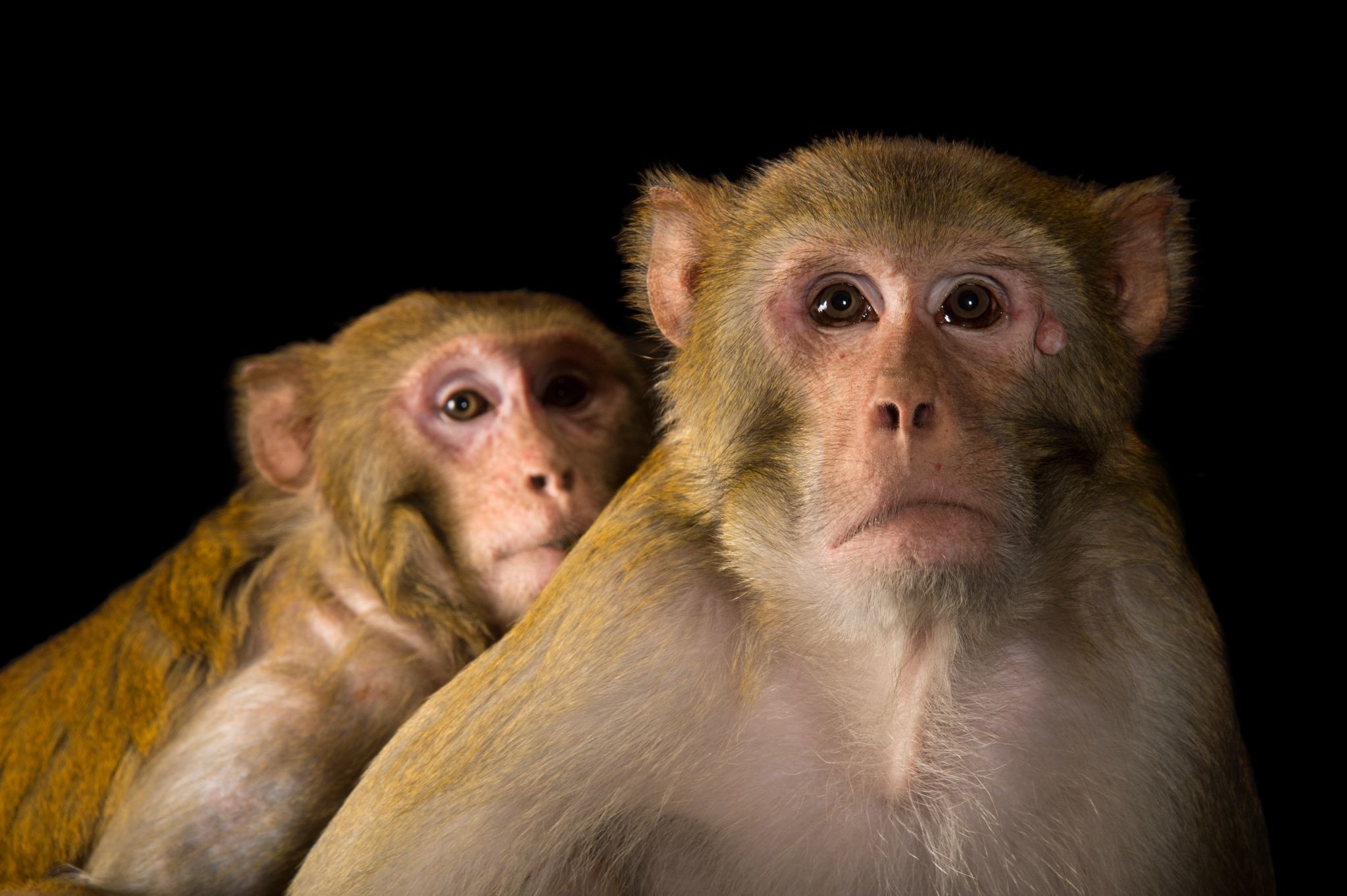 Res: 2048x1363, monkey animal pictures - HD Wallpapers