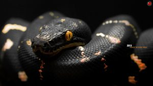Black Snake wallpapers