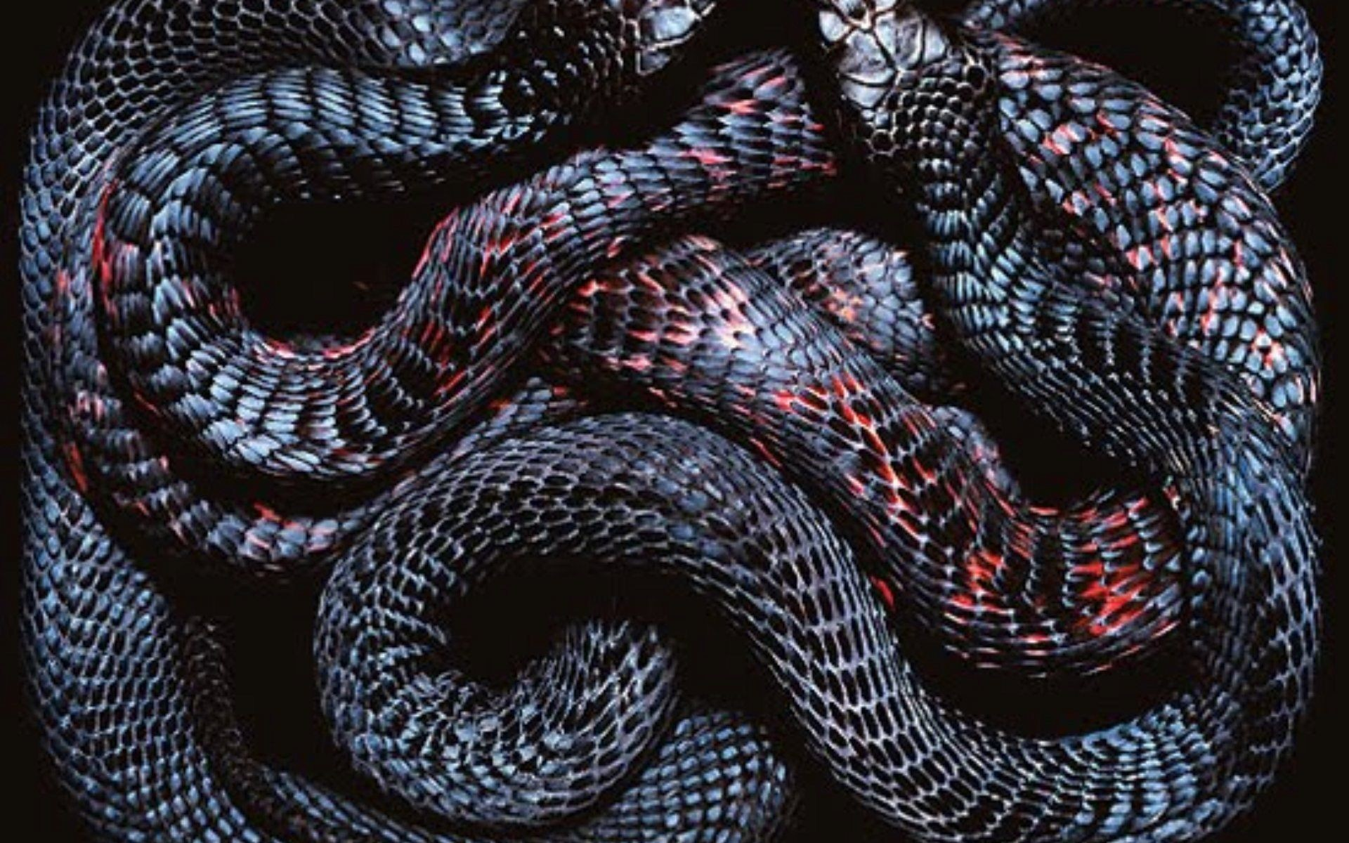 Res: 1920x1200, undefined Black Snake Wallpapers (43 Wallpapers) | Adorable Wallpapers