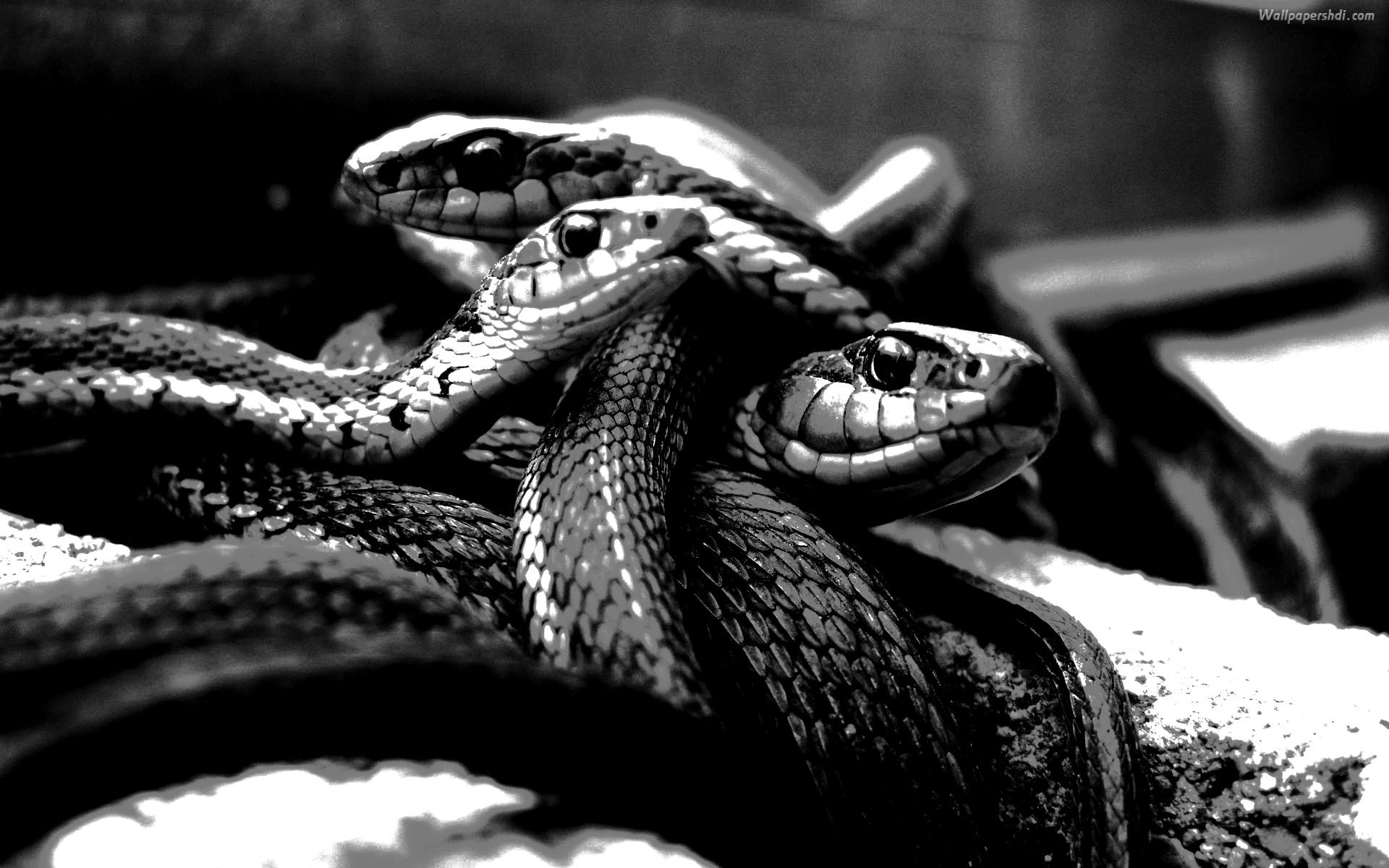 Res: 1920x1200, Title : Desktop hd wallpaper snake black