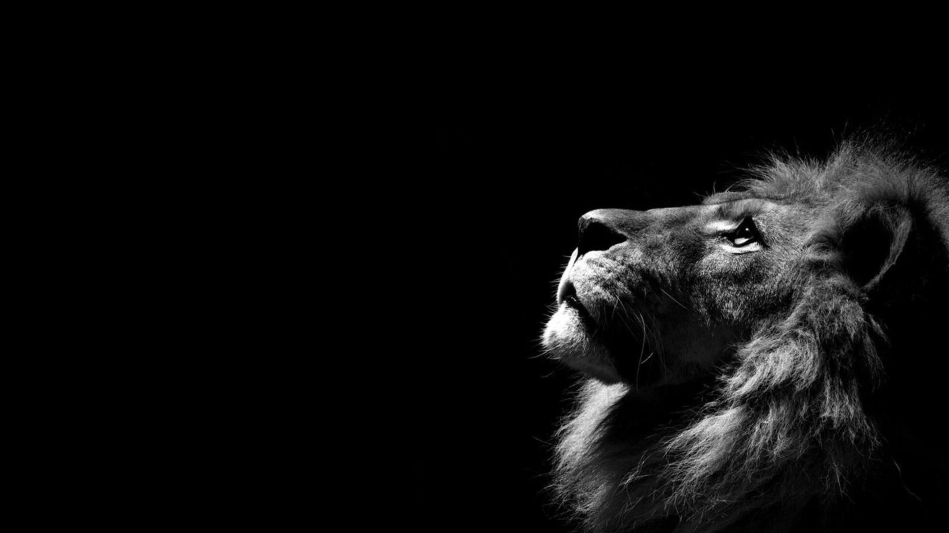 Res: 1920x1080, Lions Wallpaper