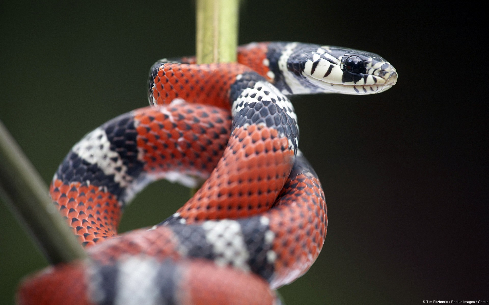 Res: 1920x1200, Red and black snake