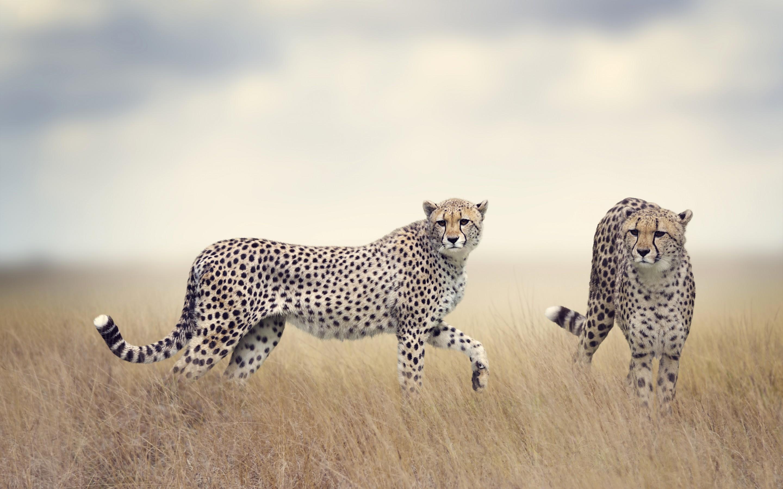 Res: 2880x1800, Animals / Cheetah Wallpaper