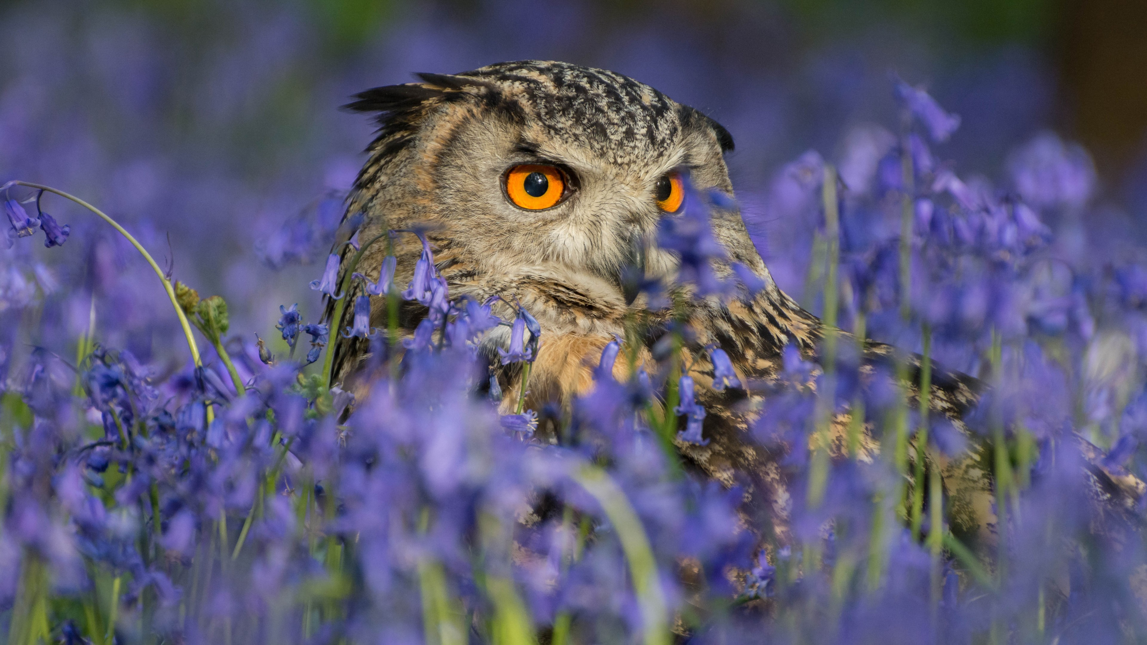 Res: 3840x2160, Animals / Owl Wallpaper