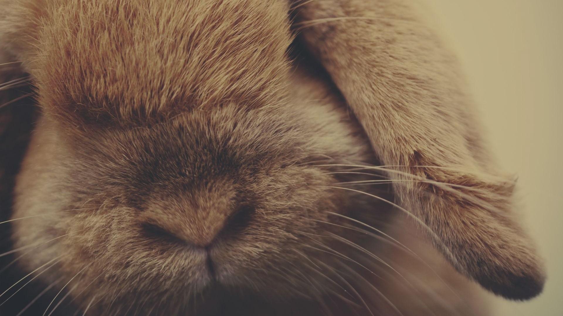 Res: 1920x1080,  Wallpaper rabbit, ears, shade, nose, fur
