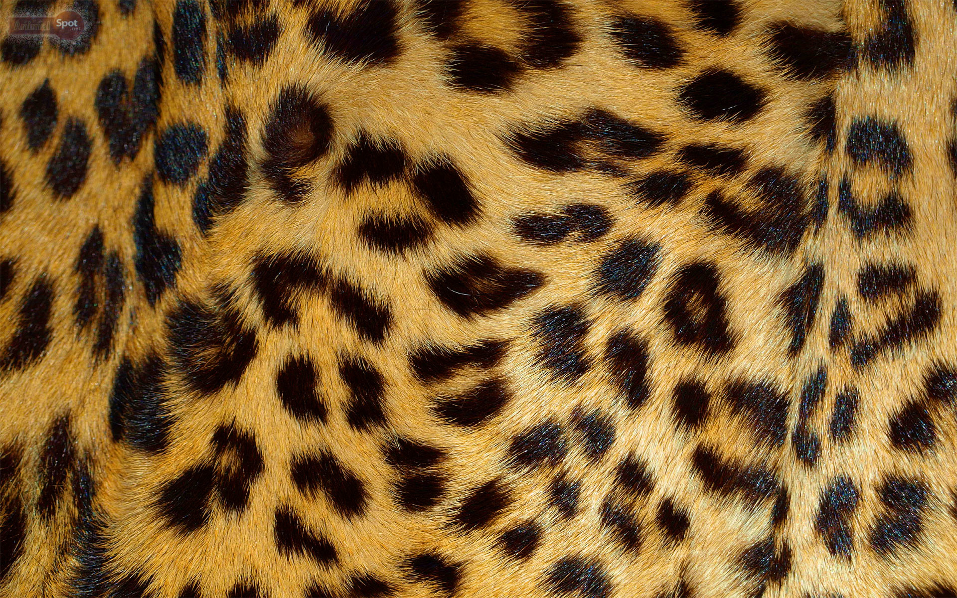 Res: 1920x1200, Best Leopard Wallpapers and Backgrounds