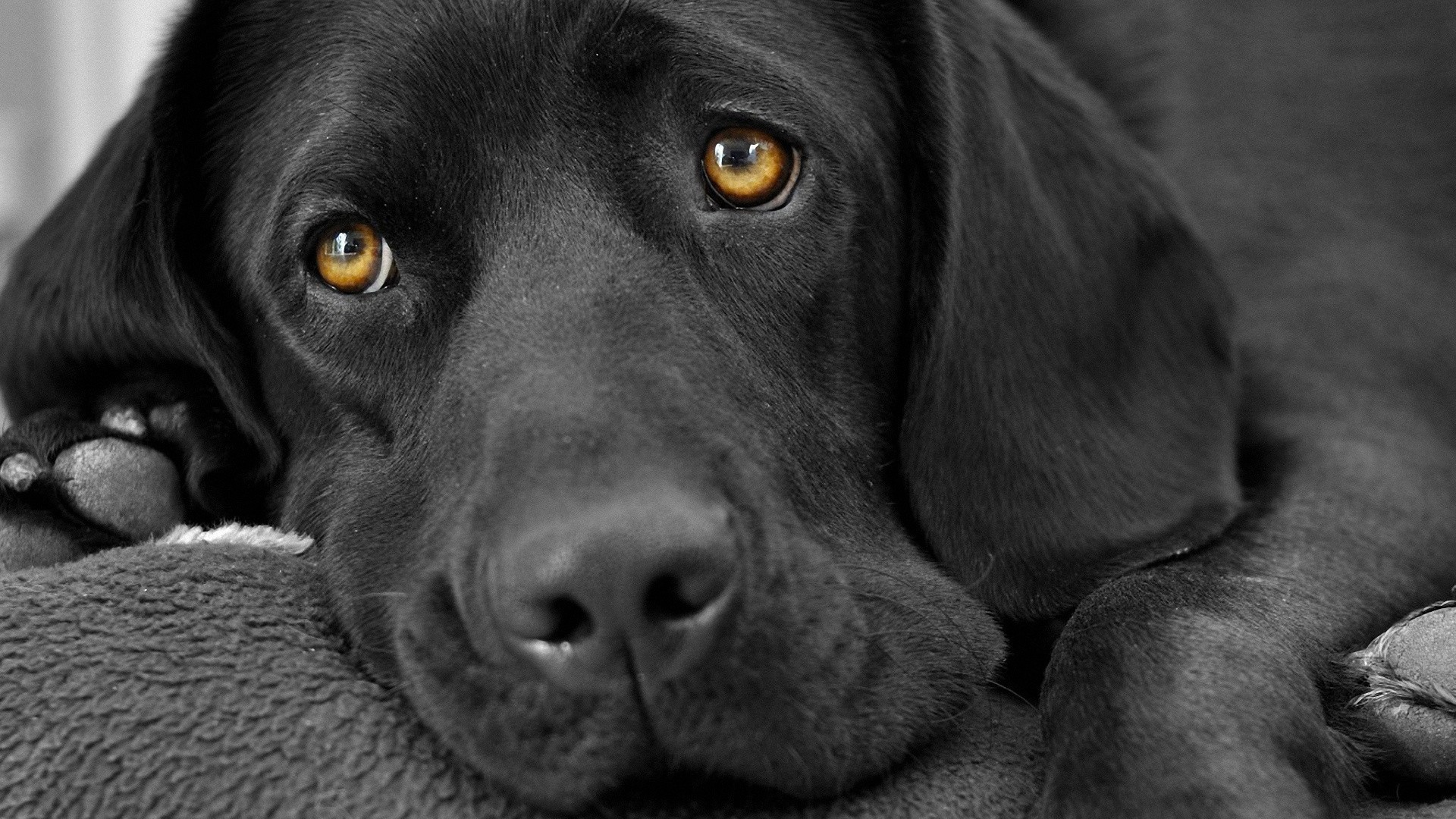 Res: 1920x1080, Animals black and white dogs fur wallpaper