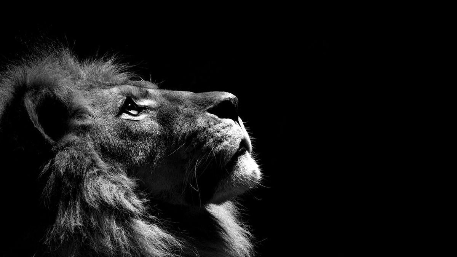 Res: 1920x1080,  4. lion-wallpapers-HD4-600x338