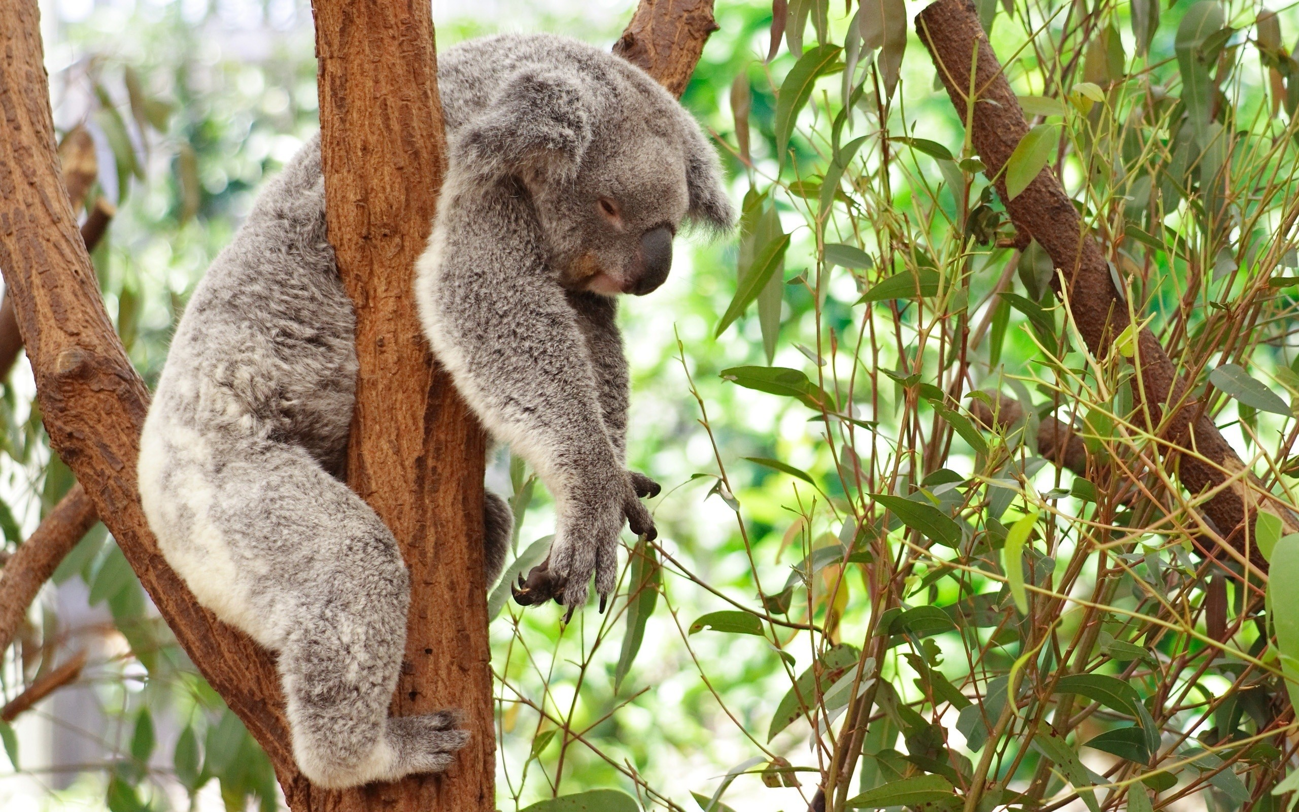 Res: 2560x1600, images of koala bears wallpapers hd