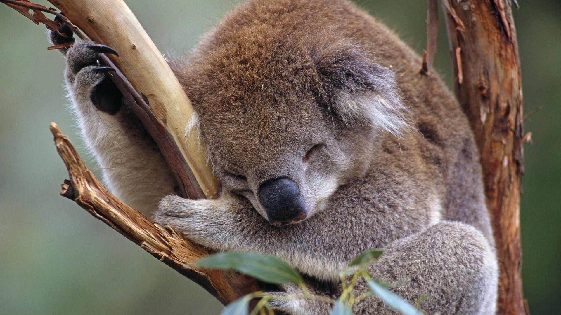 Res: 1920x1080, Koala HD Wallpapers and Backgrounds (7) http://www.urdunewtrend.