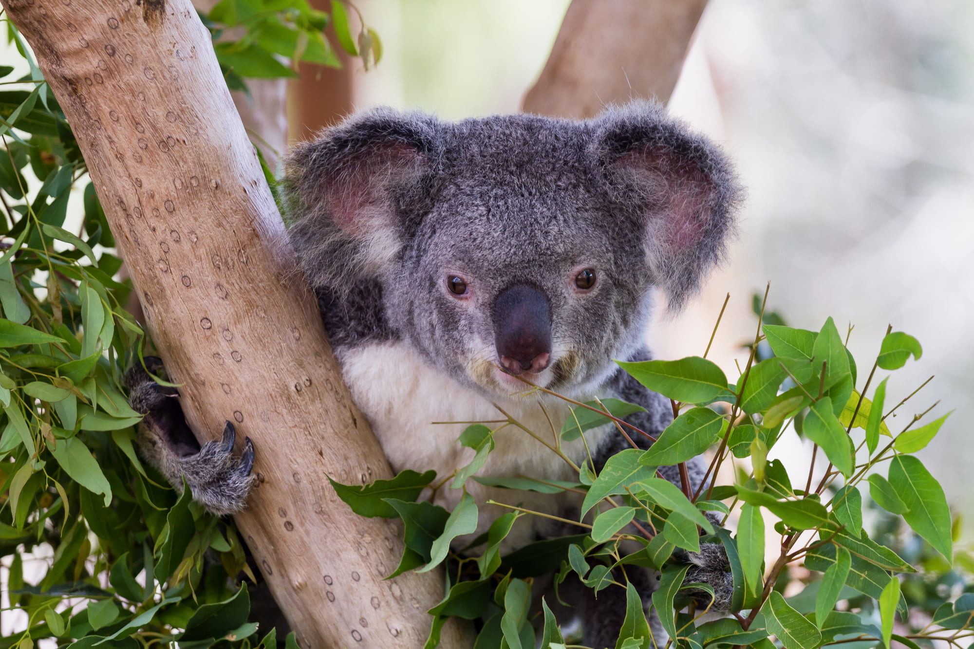 Res: 2000x1333, black Koala Bear on brown tree trunk with leaves around it HD wallpaper