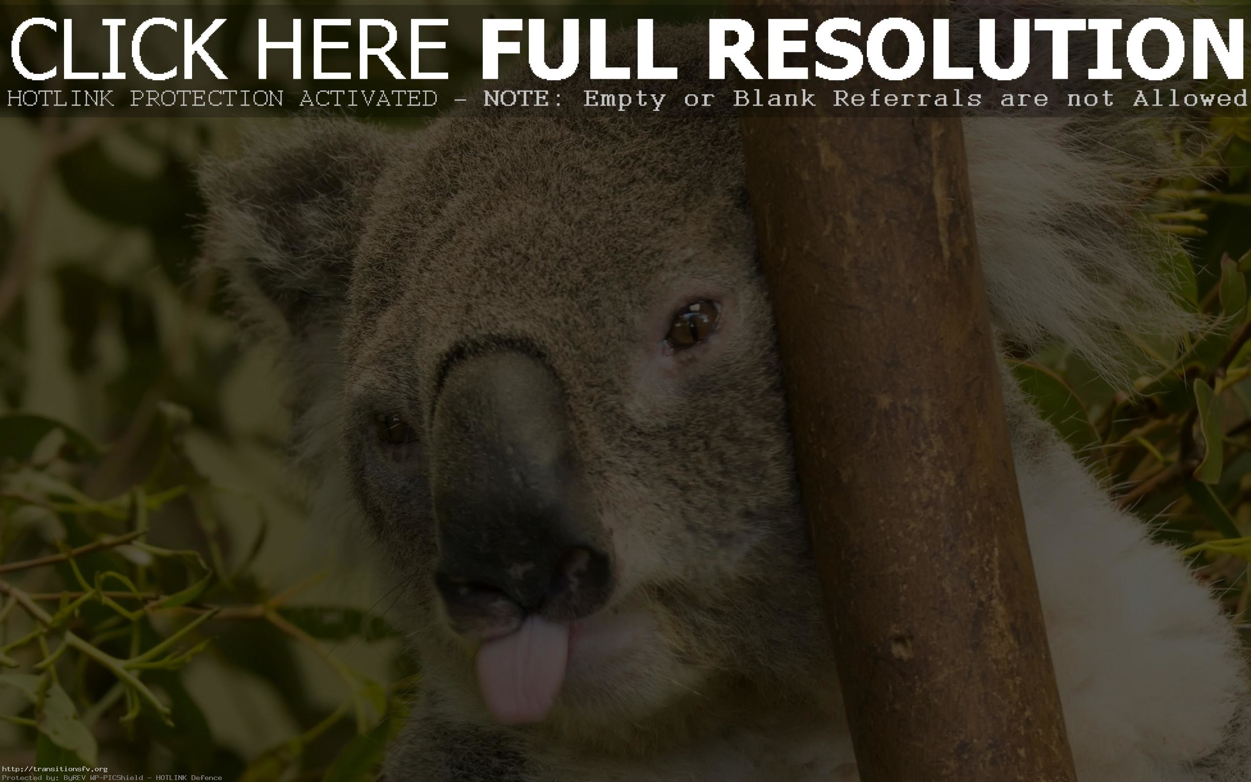 Res: 2560x1600, Koala Bear Selfies Are The Cutest Things Ever Magnificent
