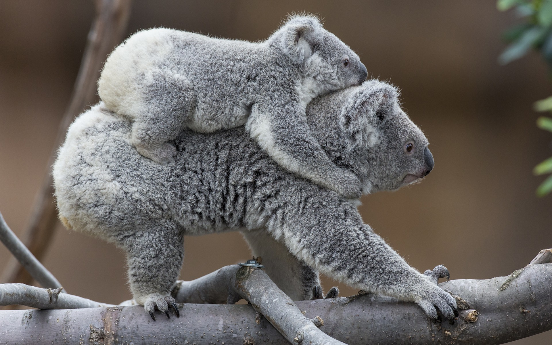 Res: 1920x1200, Baby Animals Koala Desktop Wallpaper Animal : Baby Animals for HD 16:9 High  Definition
