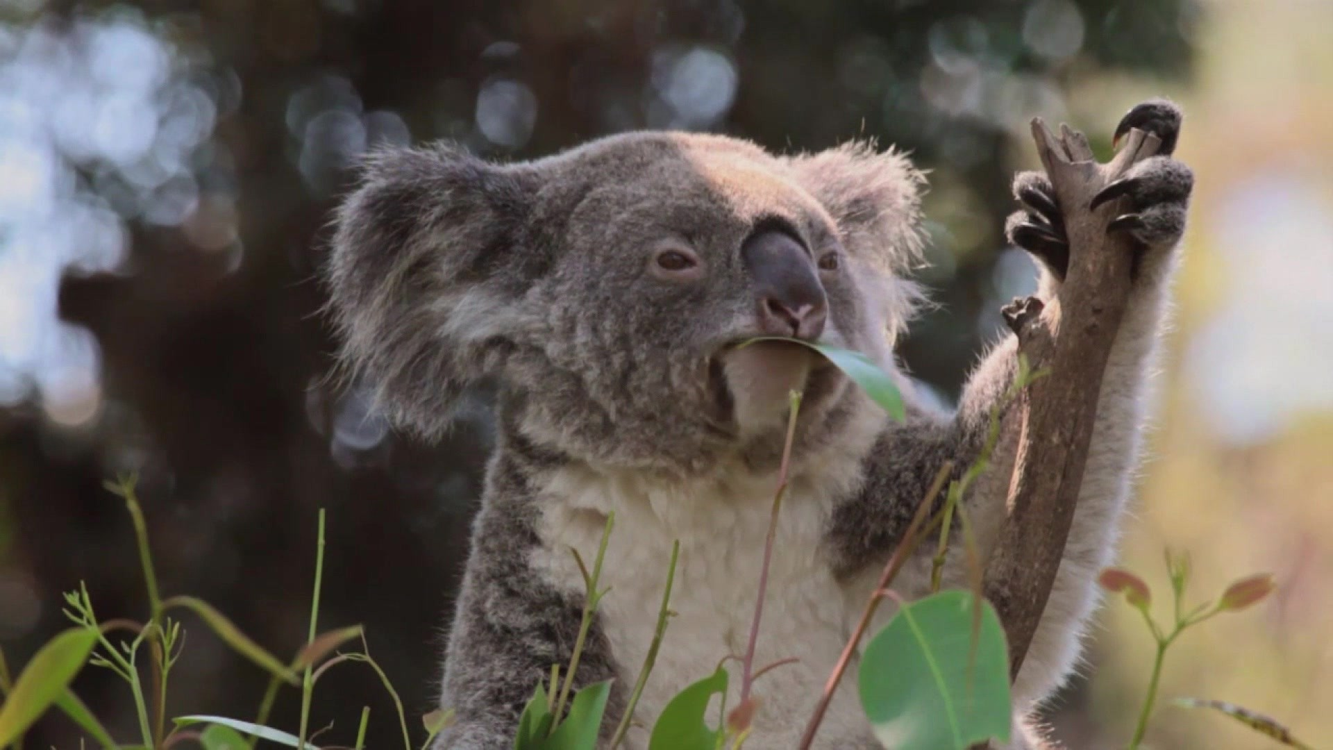Res: 1920x1080, Super Gross Koala Stuff - Total Riff Off Video - National Geographic Channel
