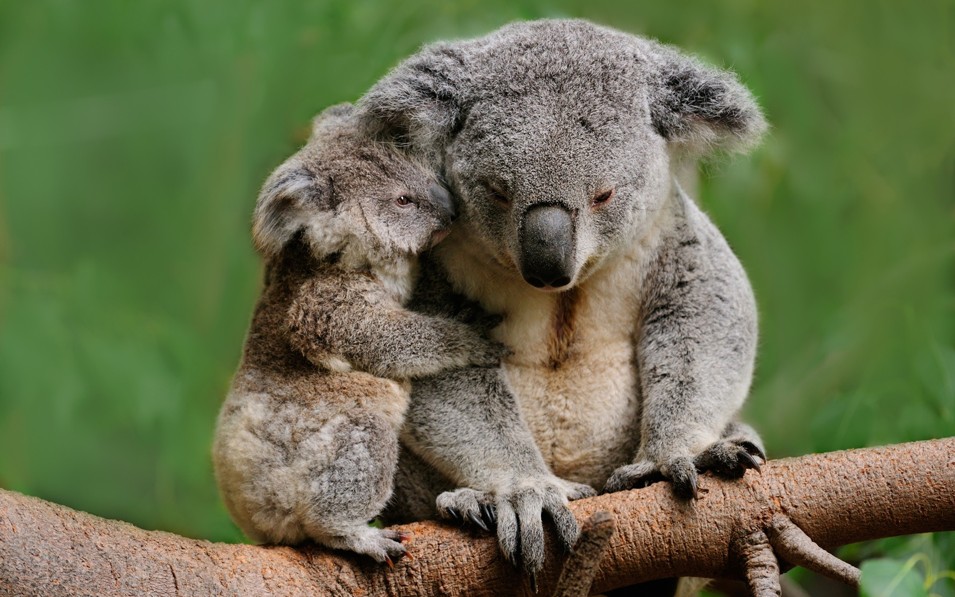 Res: 1920x1200, Baby Koala Bear and Mother sitting on tree branch