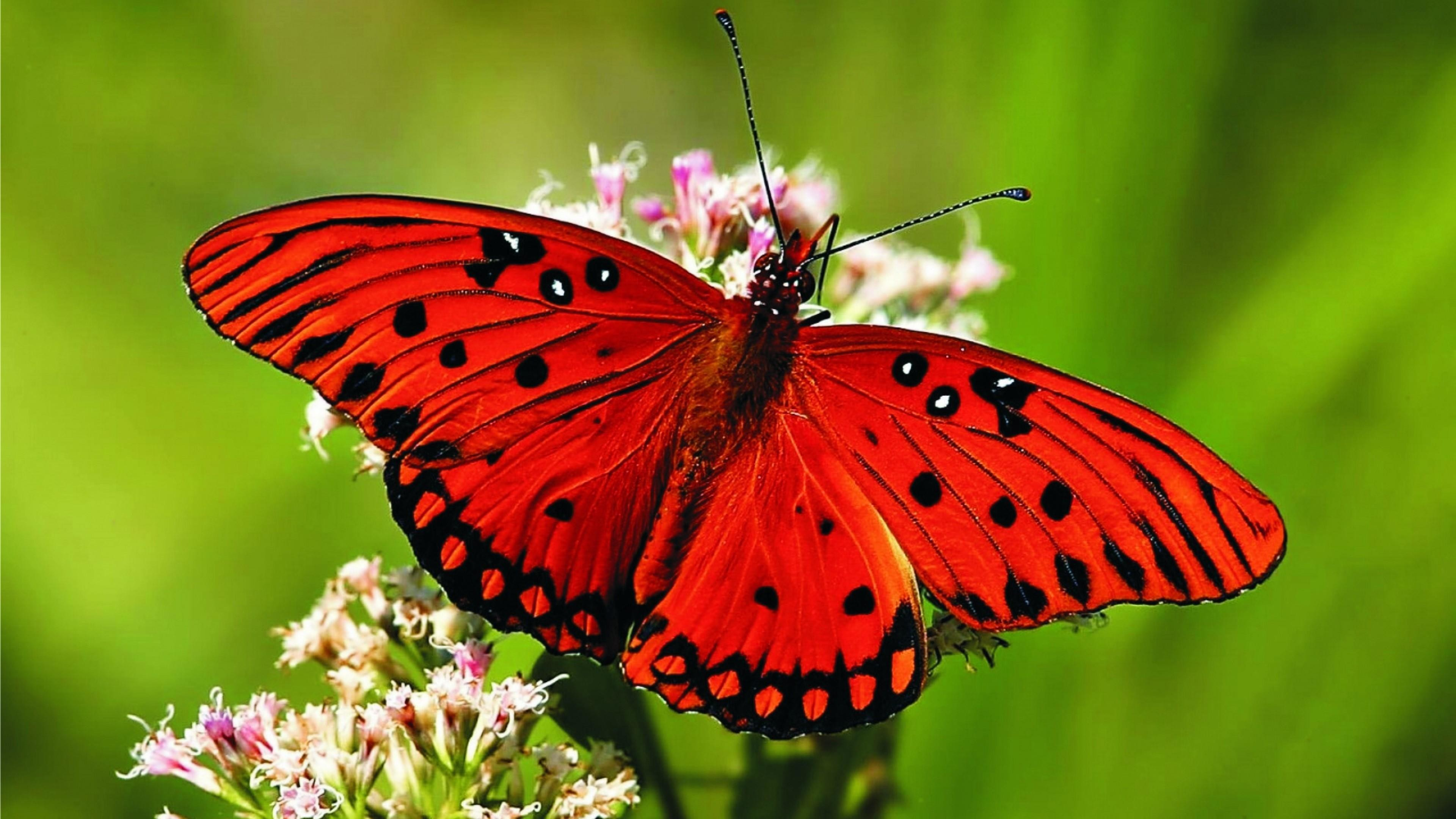 Res: 3840x2160, Red Butterfly Wallpaper   Wallpaper Studio 10   Tens of thousands HD and  UltraHD wallpapers for Android, Windows and Xbox