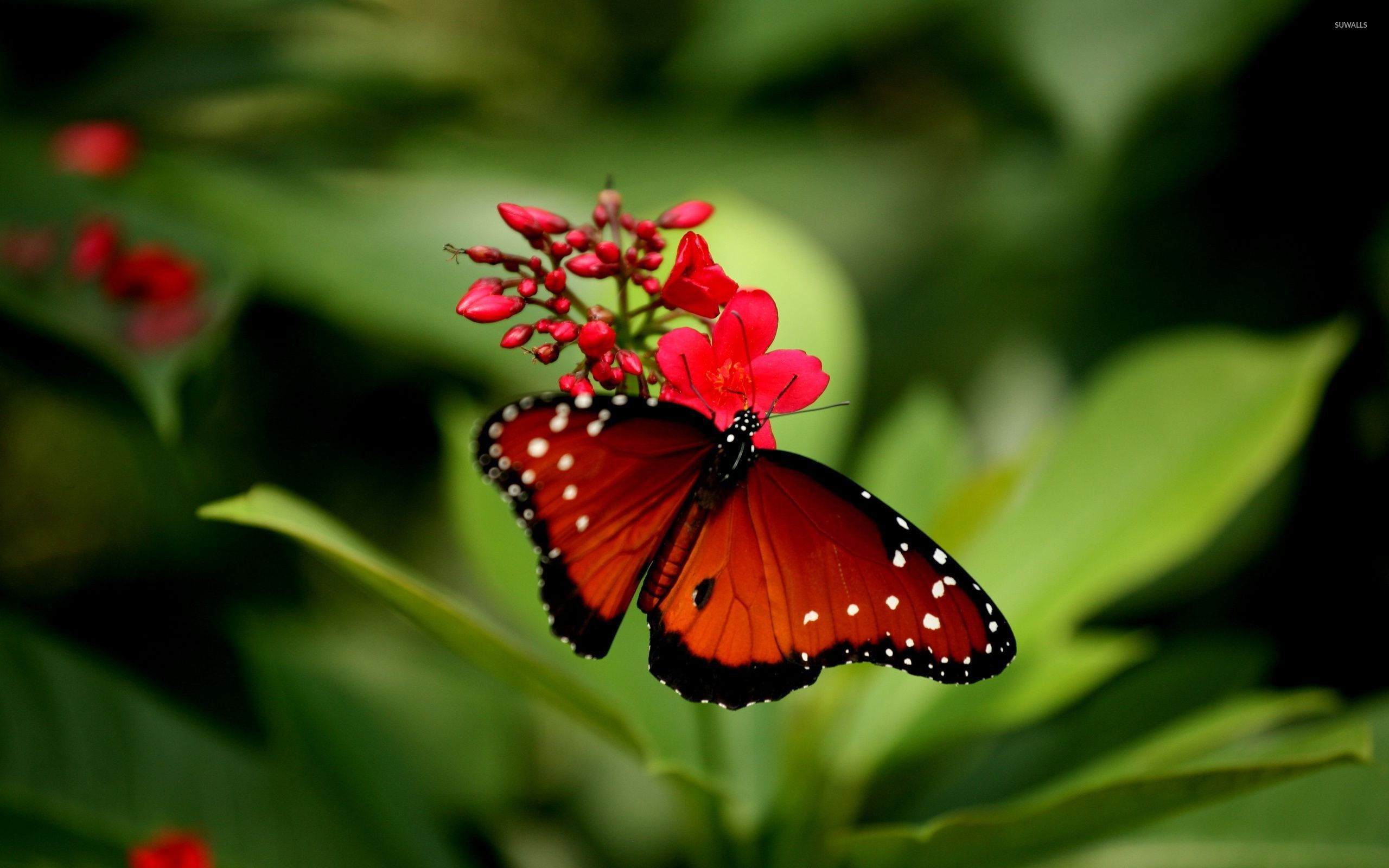 Res: 2560x1600, Red butterfly wallpaper