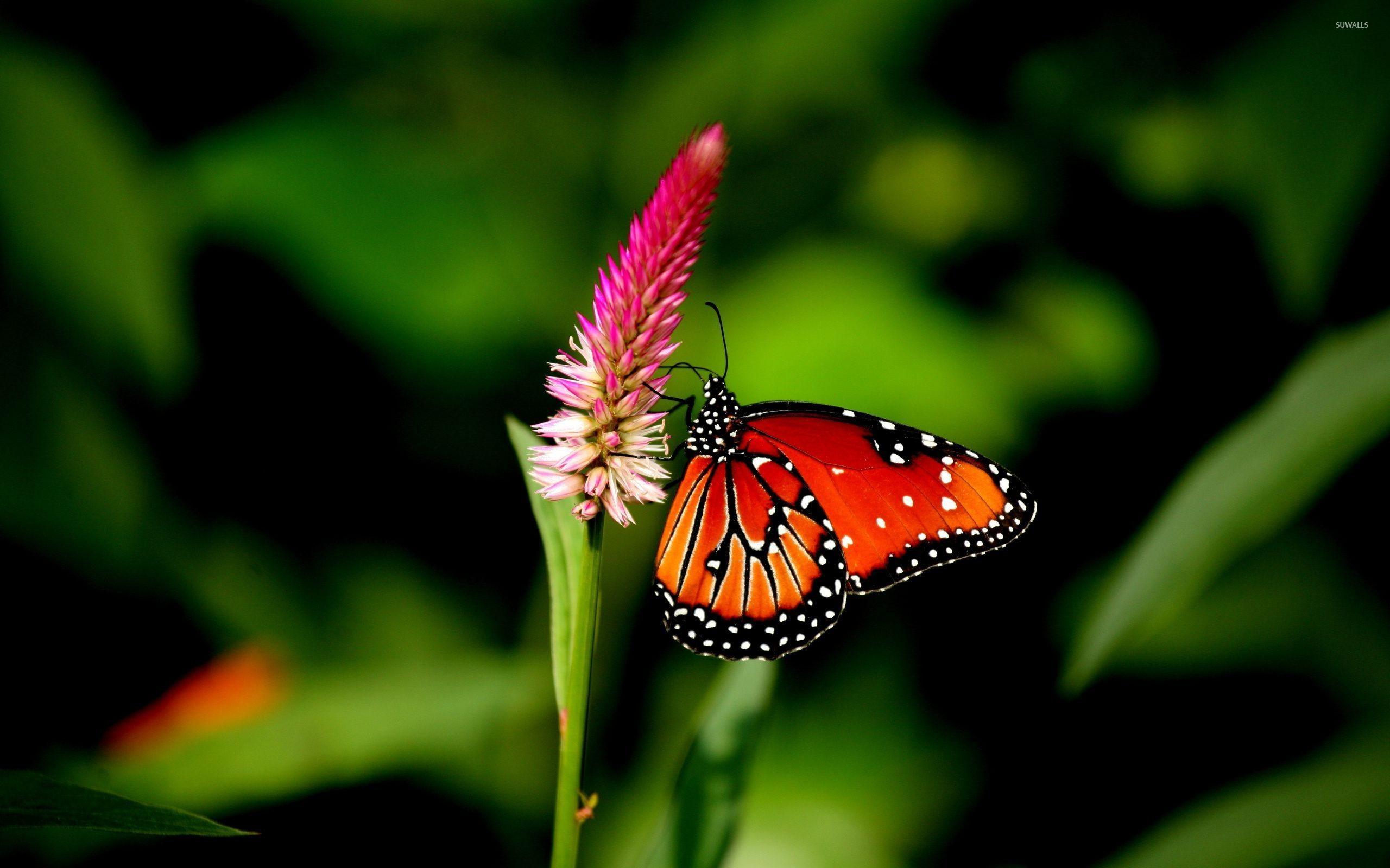 Res: 2560x1600, Orange butterfly [2] wallpaper